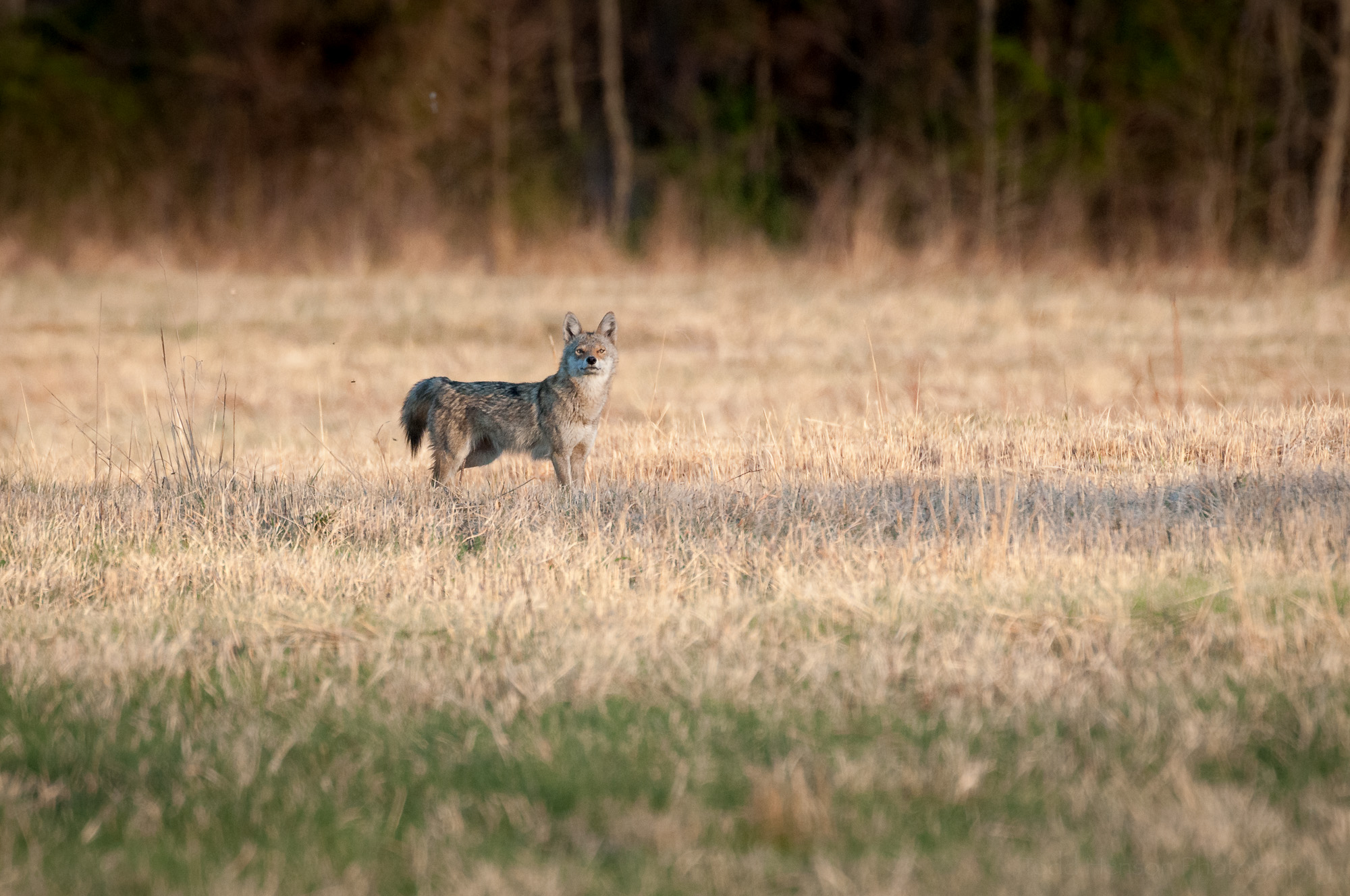Curious Coyote, watching me and sniffing