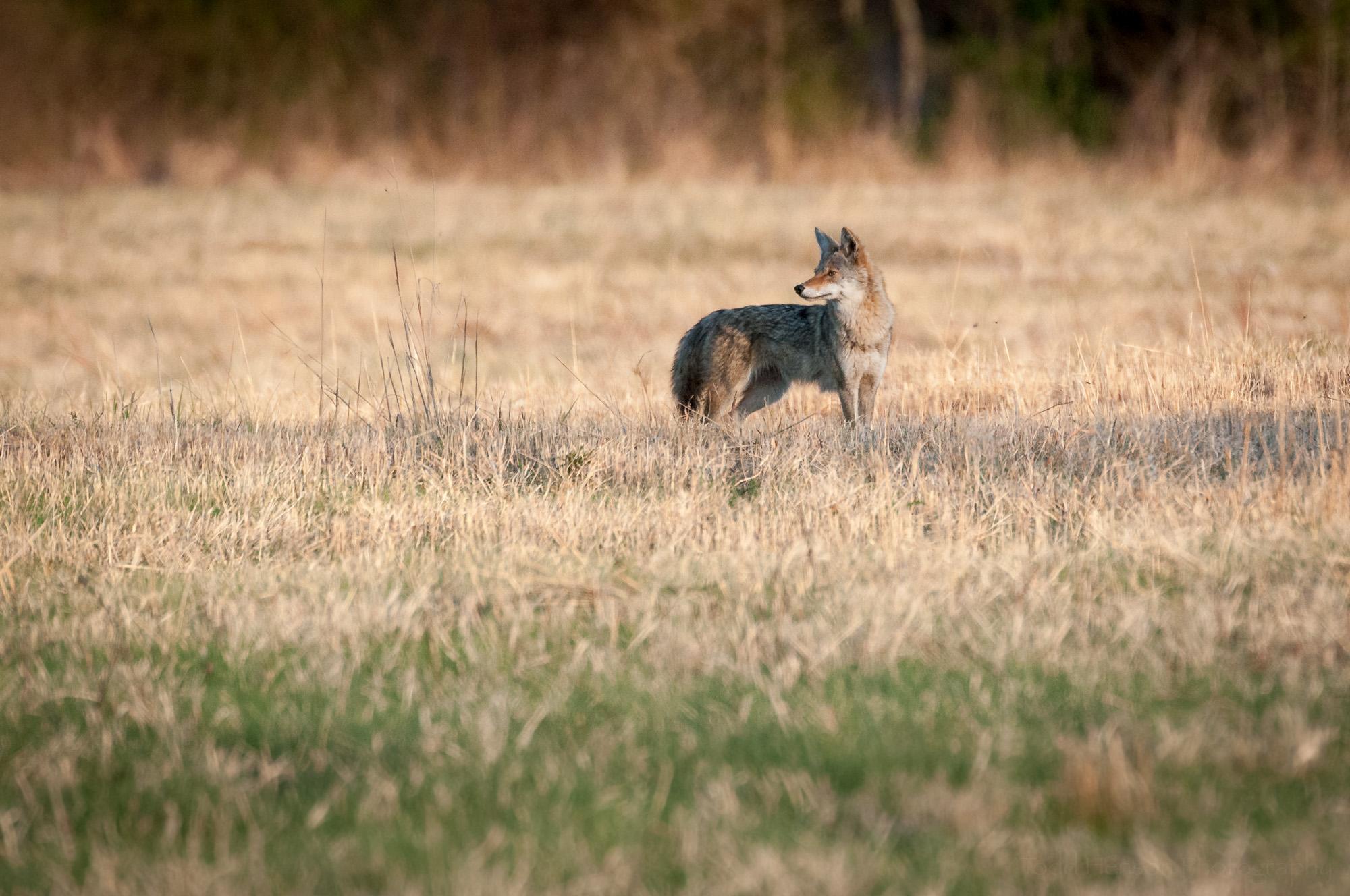 Coyote looking over shoulder