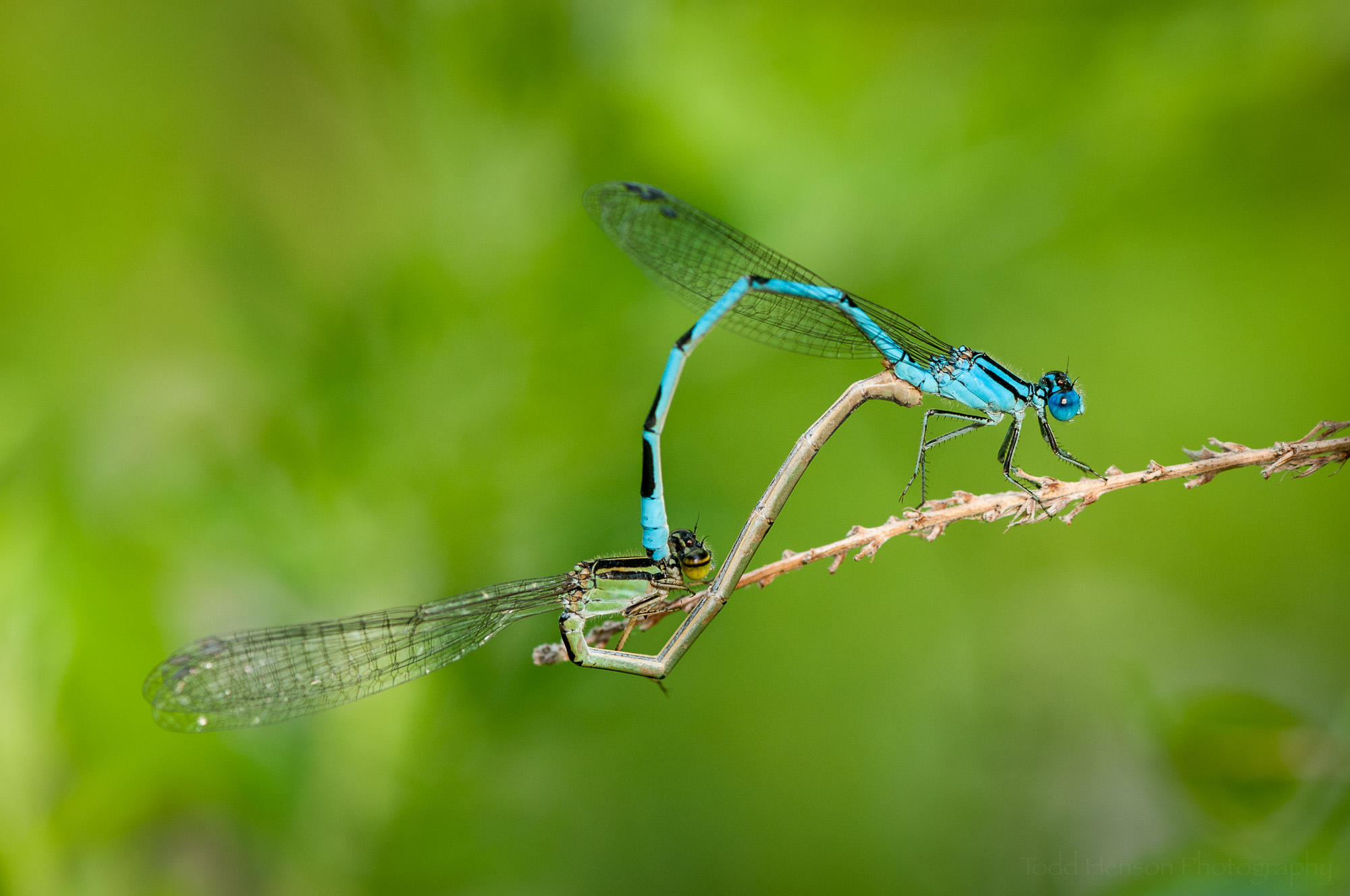 Pair of mating Familiar Bluet Damselflies. The male is blue, the female is green-brown.