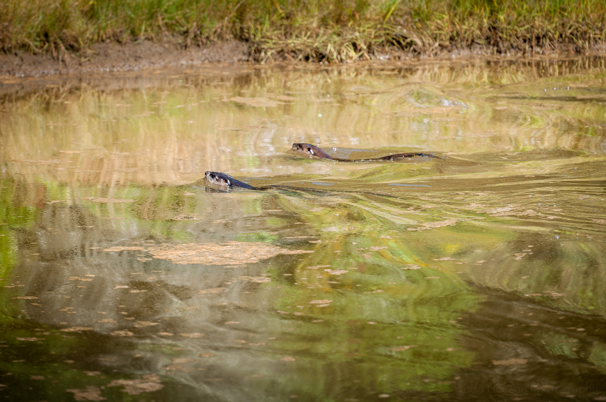 Two river otter swimming. The closer, darker one, is the mother. The other is a young otter.