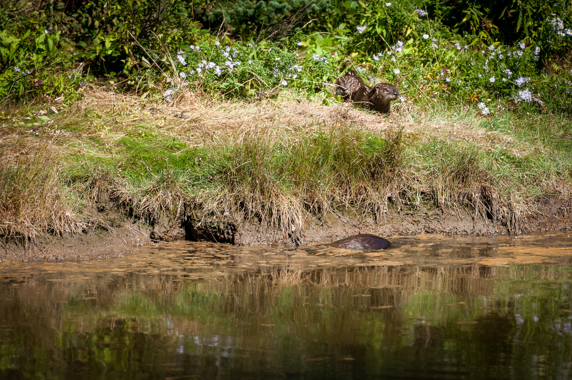 Three river otter have gone through the darker opening at water level and are on shore. A fourth is still in the water.
