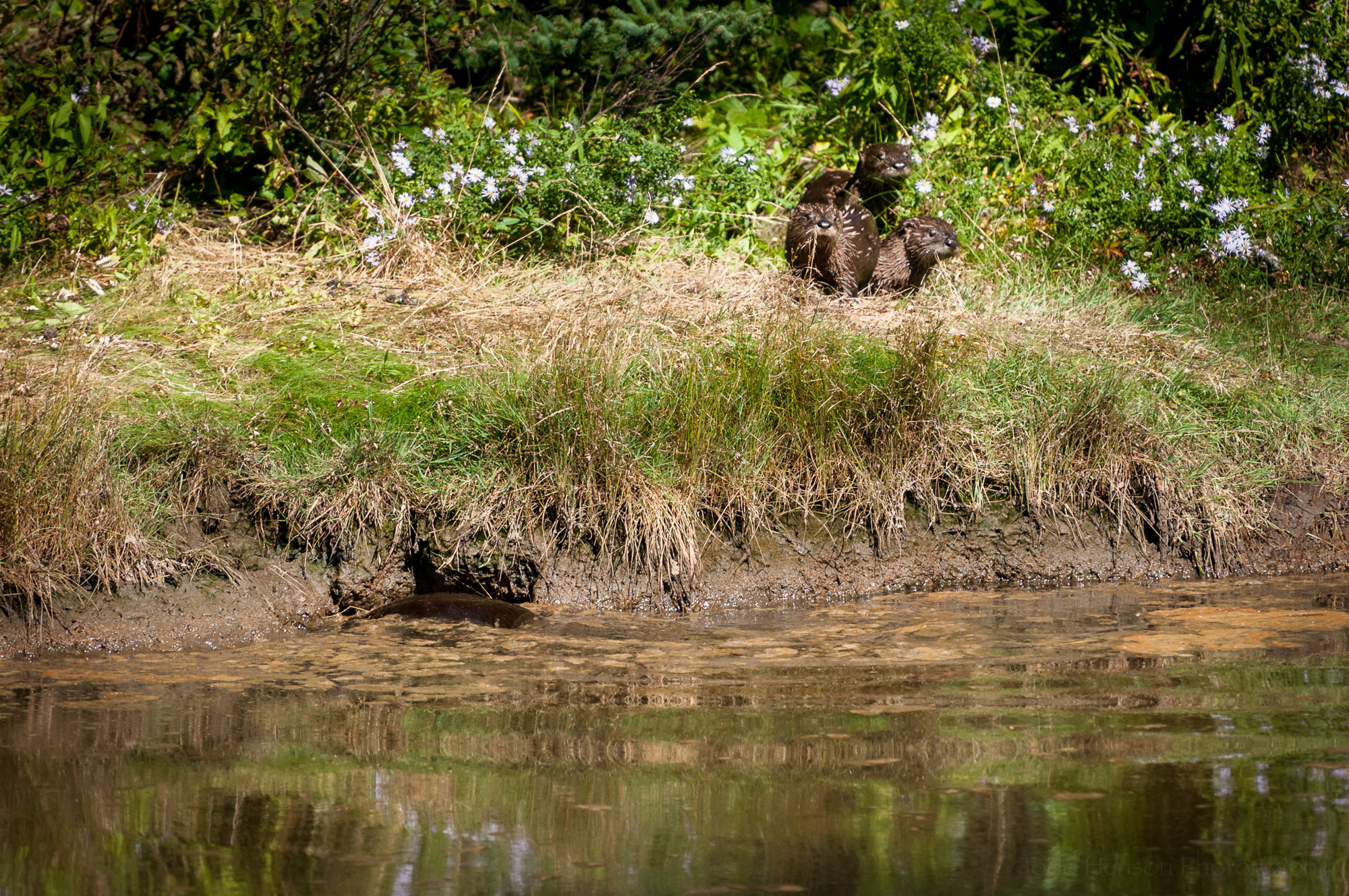 The three river otter are now on shore, while the fourth is at the opening.