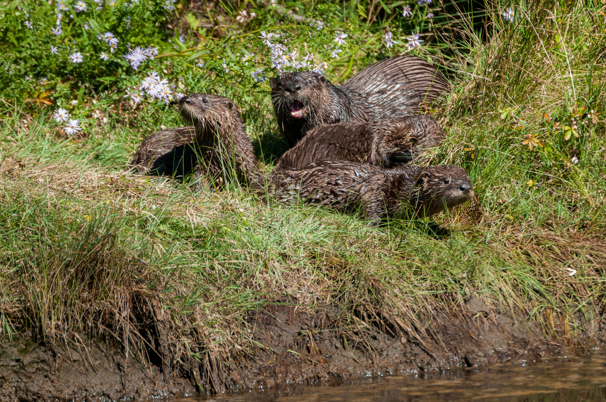 A mother and three young river otter on shore.