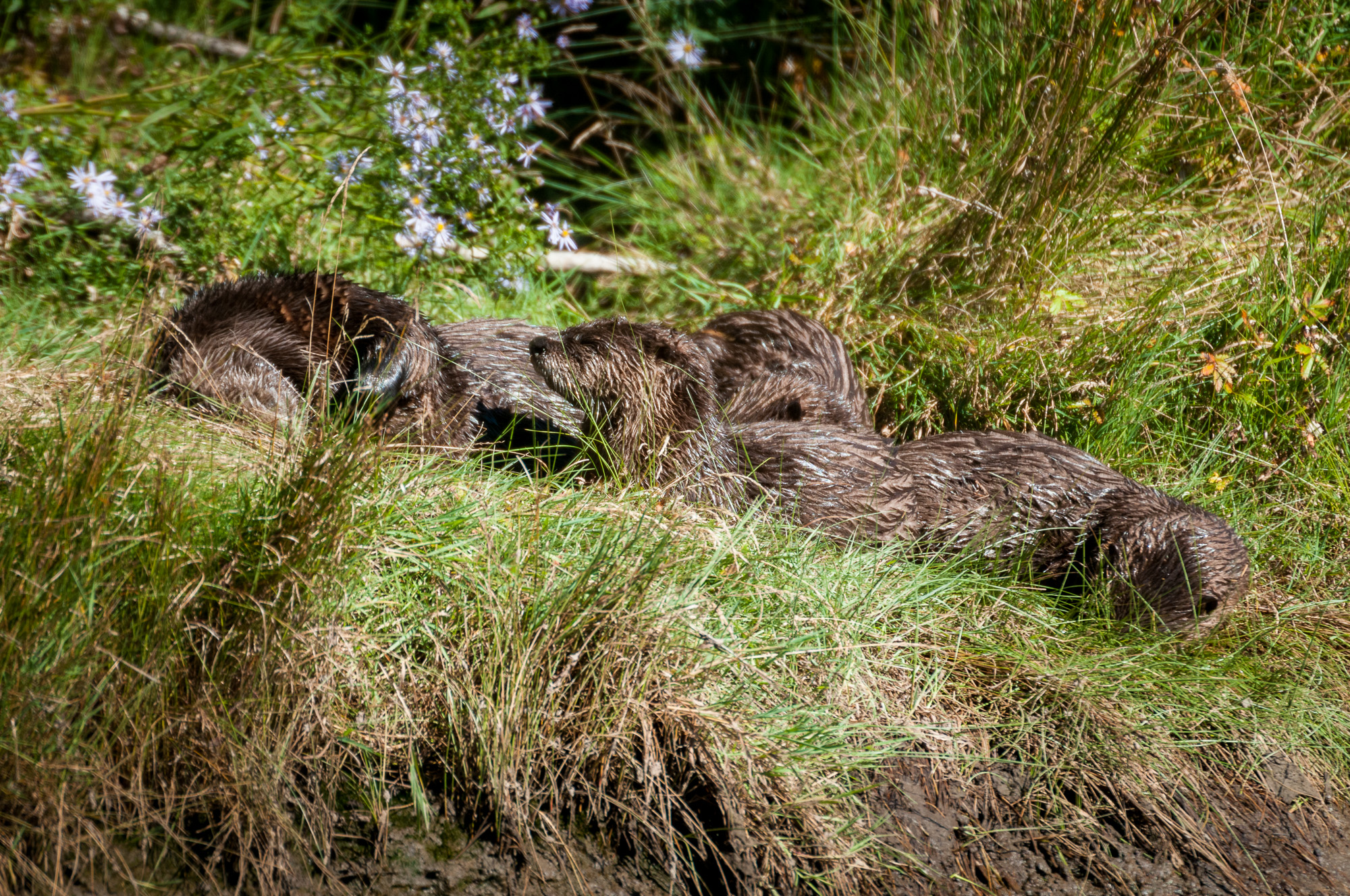Four river otter relaxing on shore.
