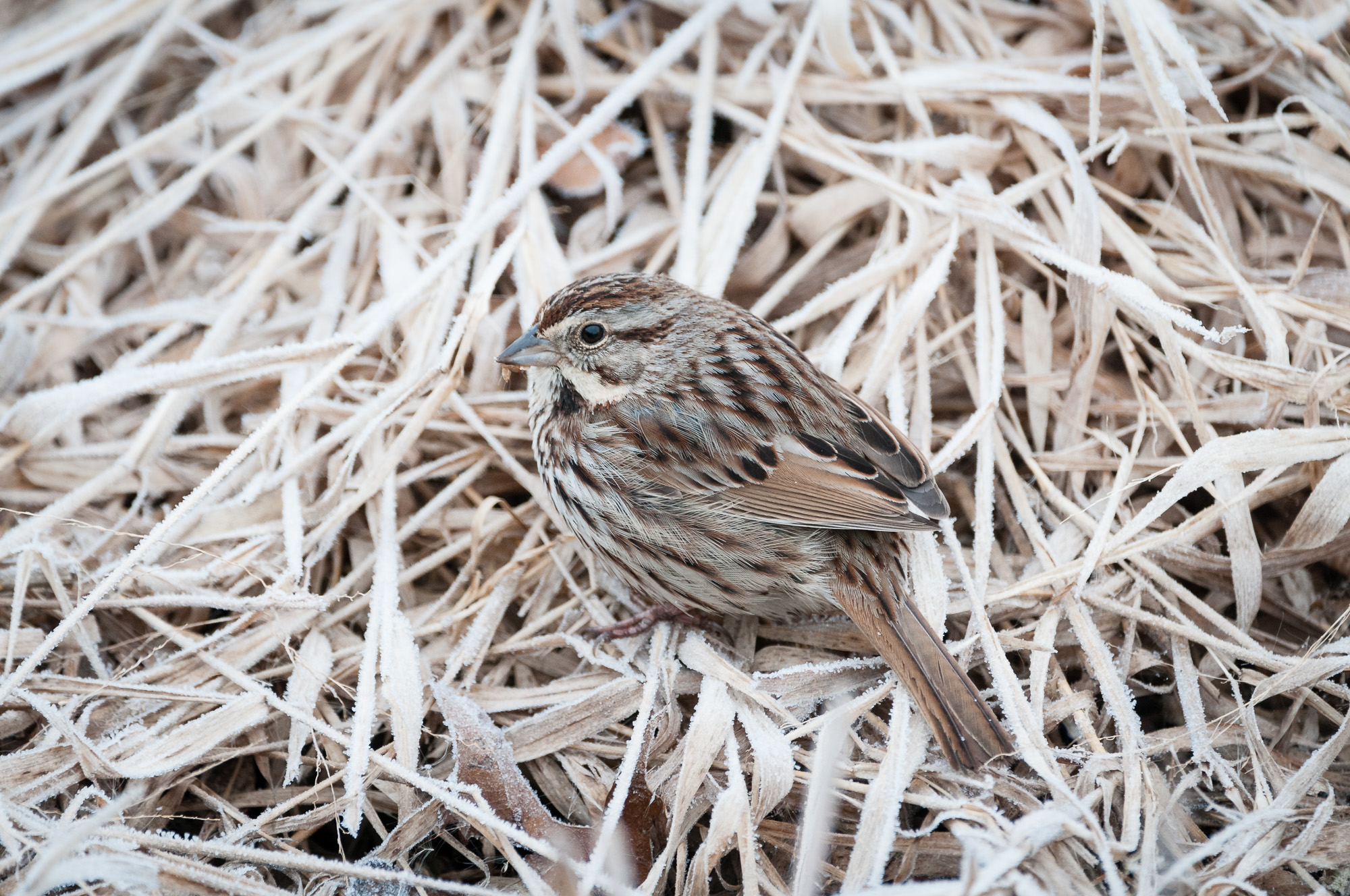 Portrait of a Song Sparrow on frosty marsh grass