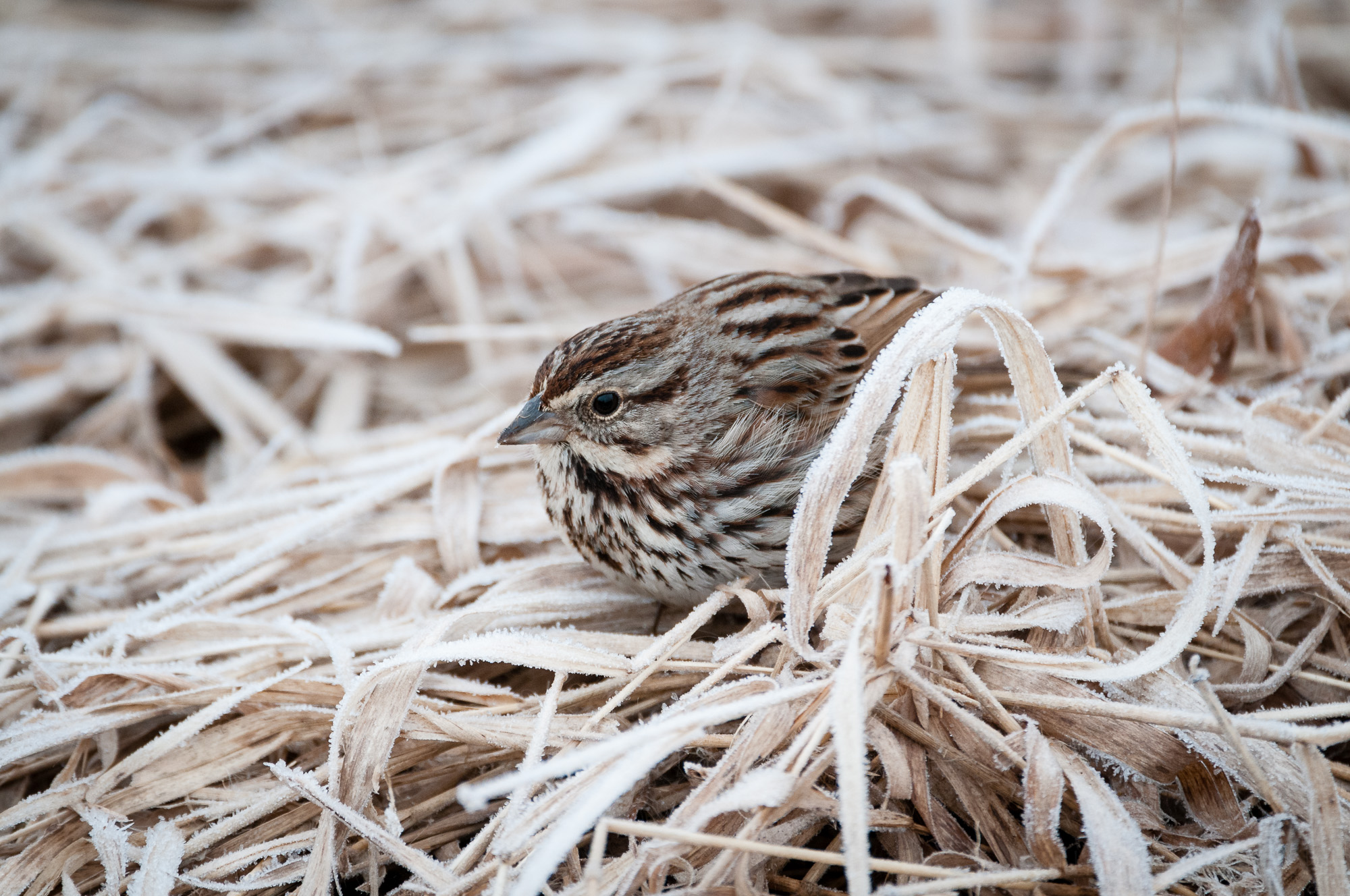 Song Sparrow on frosty marsh grass