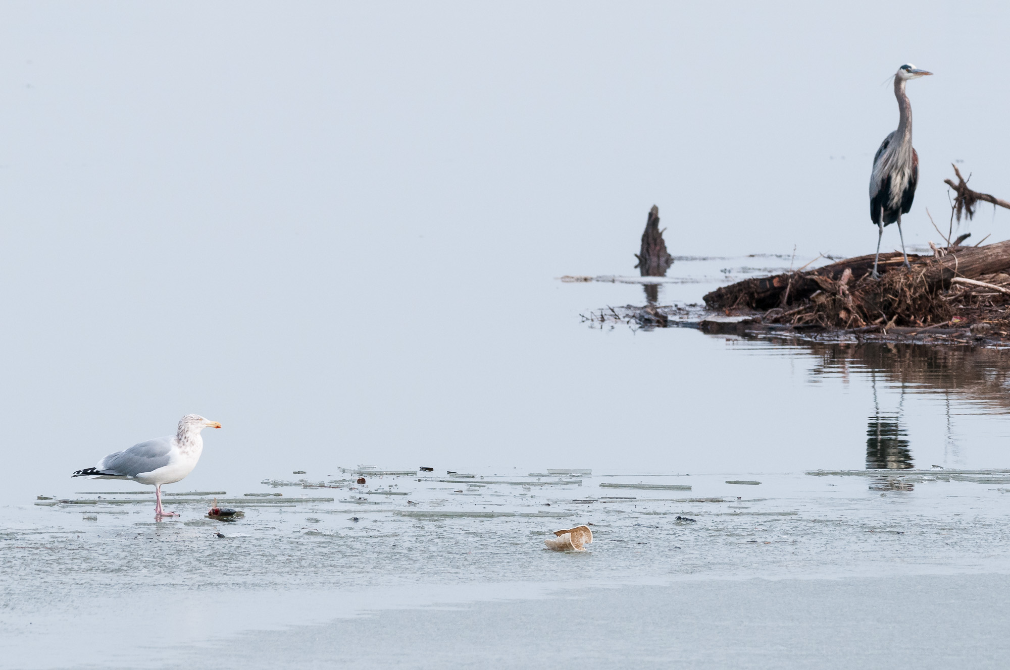 The tension builds as a Great Blue Heron watches the Herring Gull