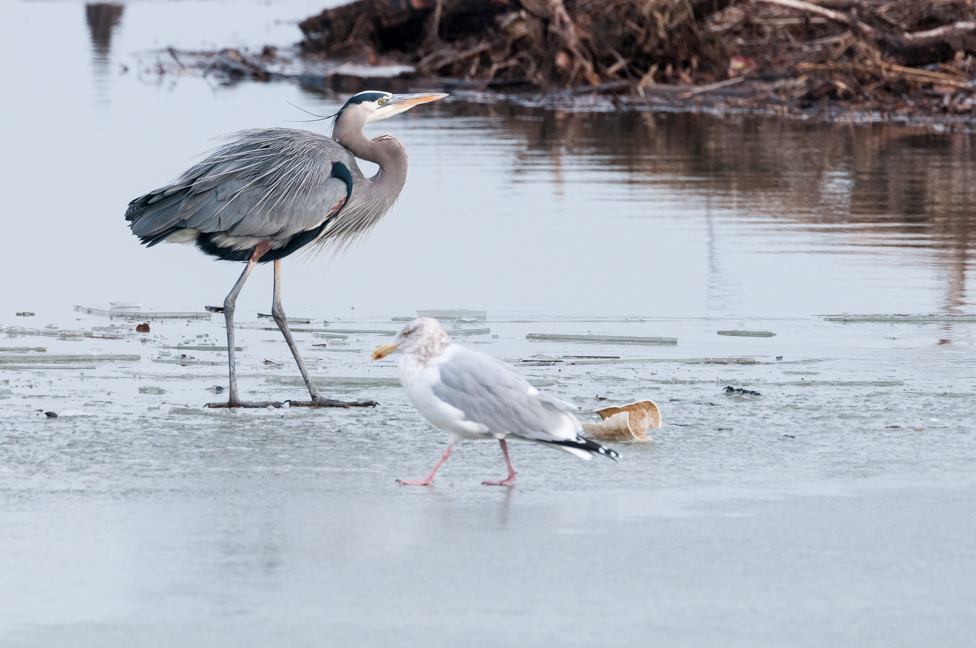Crossing paths, the Great Blue Heron returns to its island, the Herring Gull returns to its fish