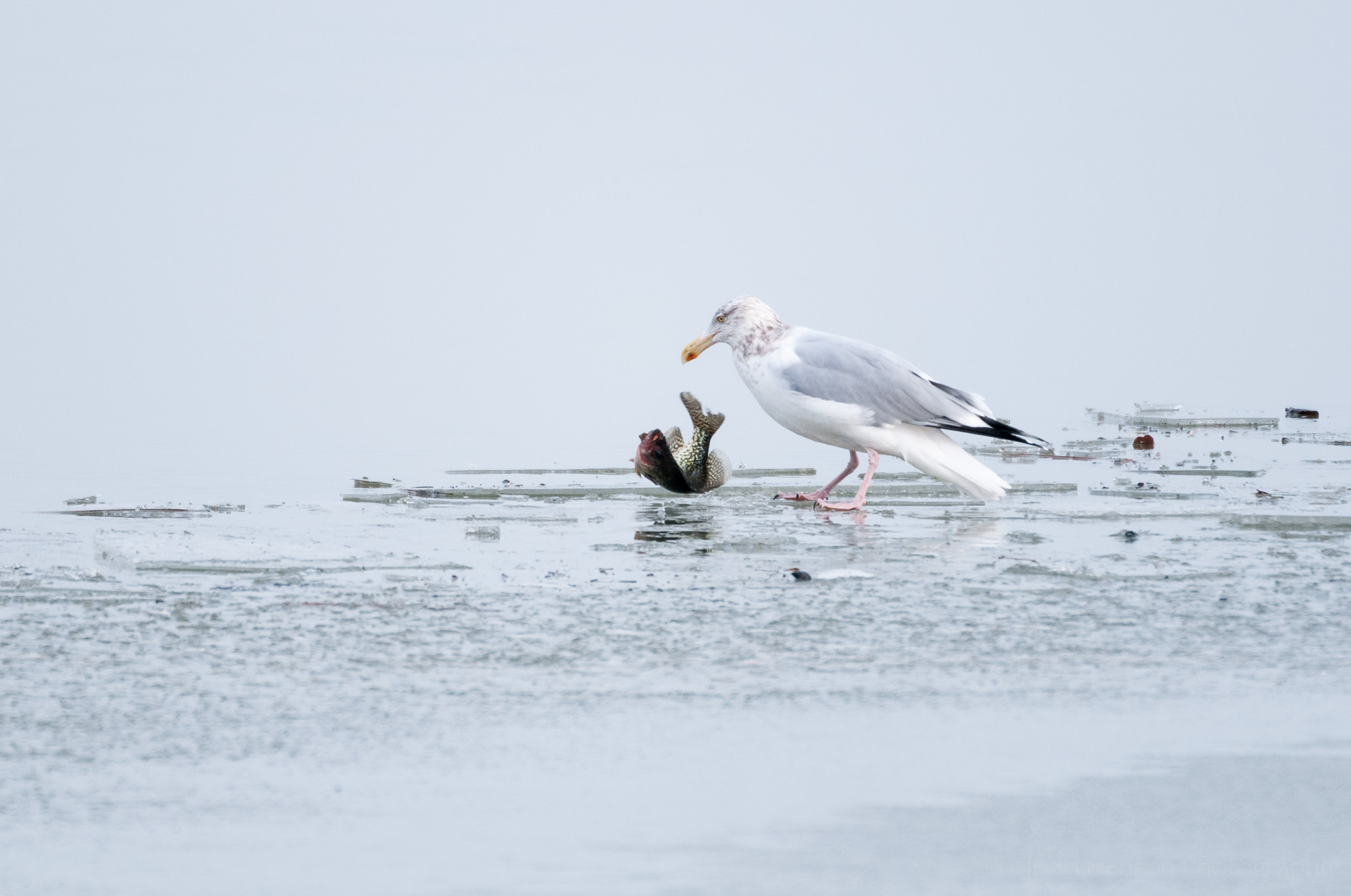 Adult Herring Gull in non-breeding plumage with a fish flipping on an ice covered river