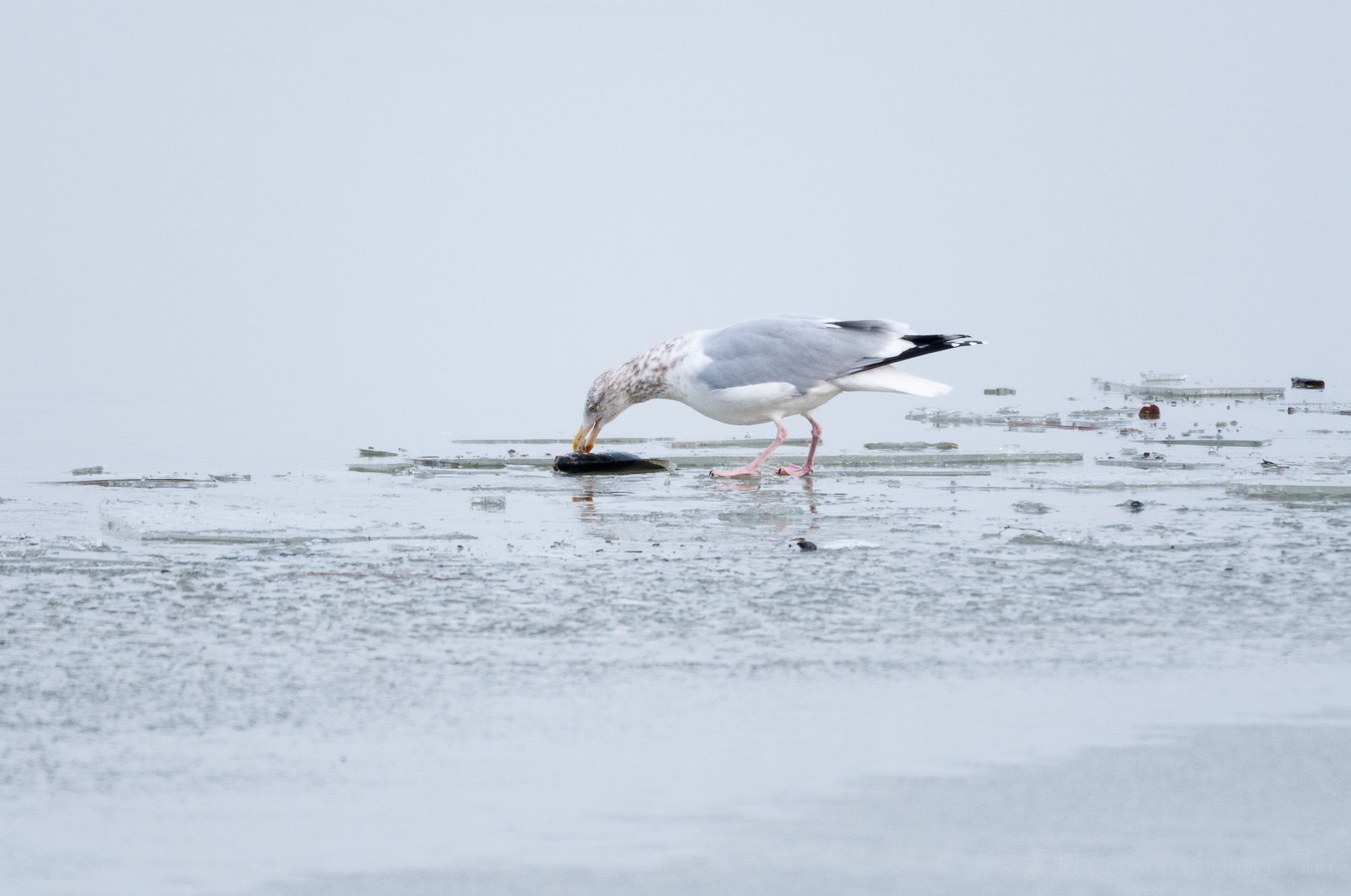 Herring Gull eating a fish on ice covered river. Notice the gray back, black wing tips, and white tail.