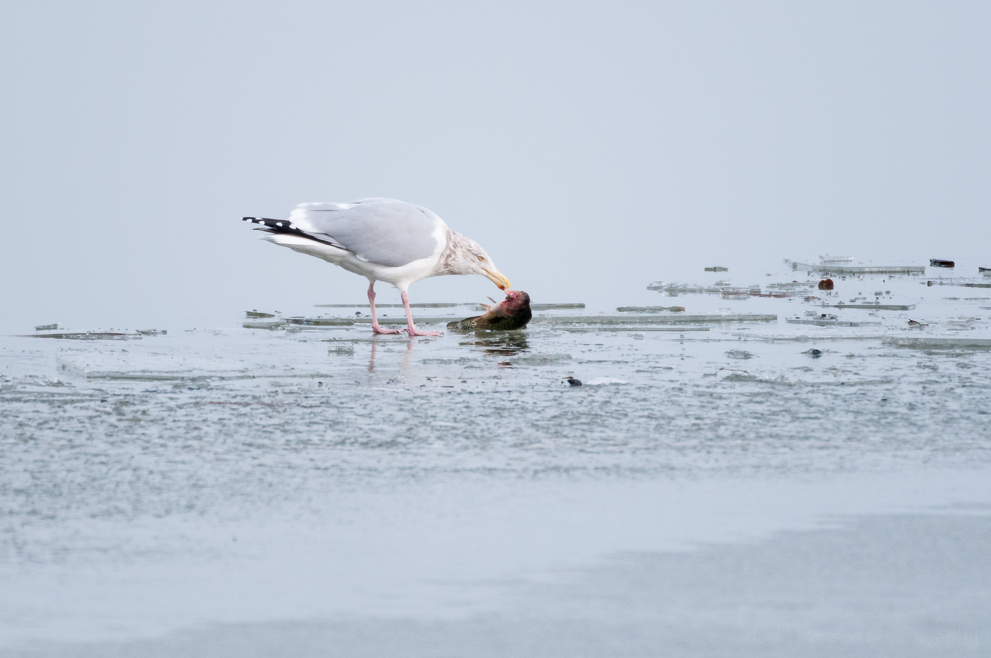 Herring Gull eating fish on ice covered river. Notice the white spots on the black wing tips, and the red spot on the underside of its bill.