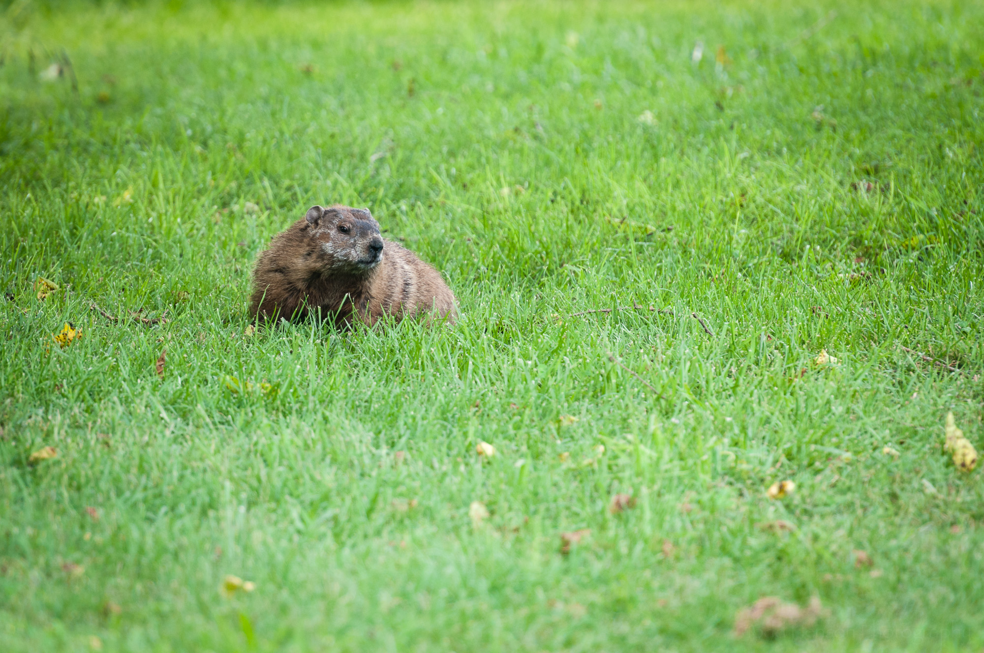 Groundhog facing the camera