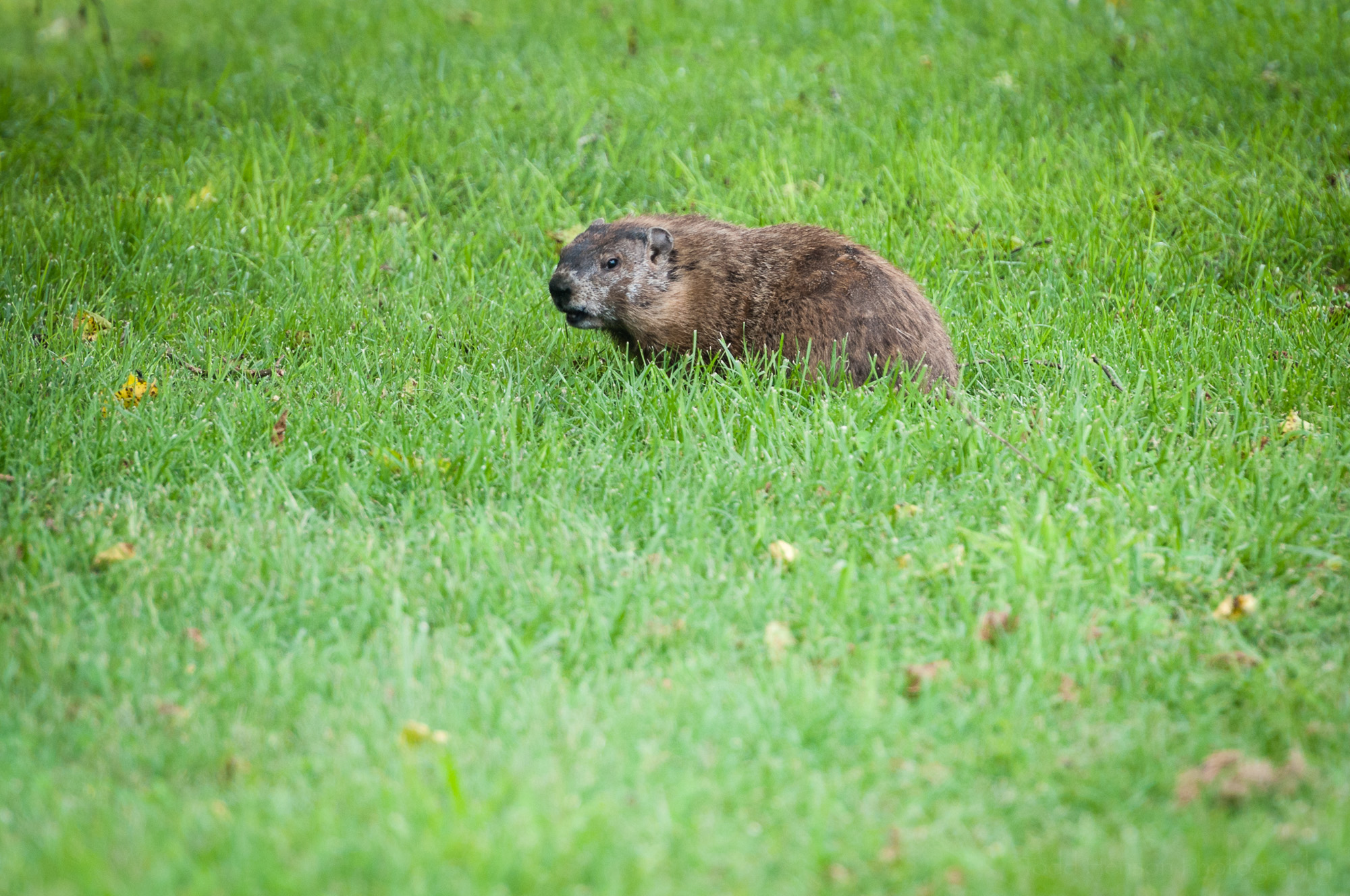 Groundhog watching me as I photograph it