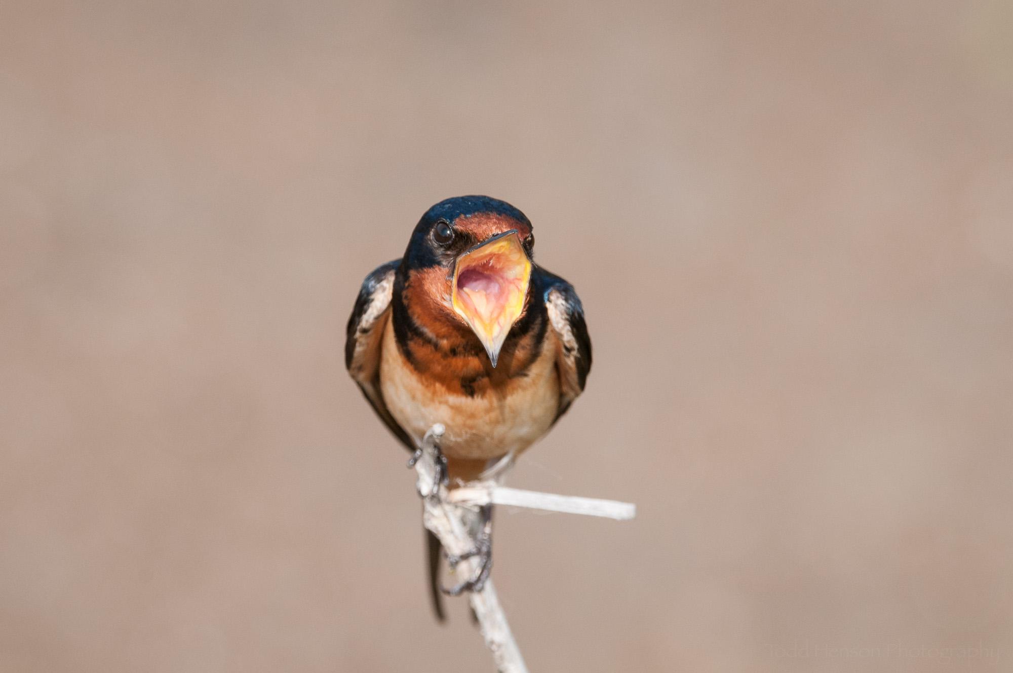 Singing Barn Swallow