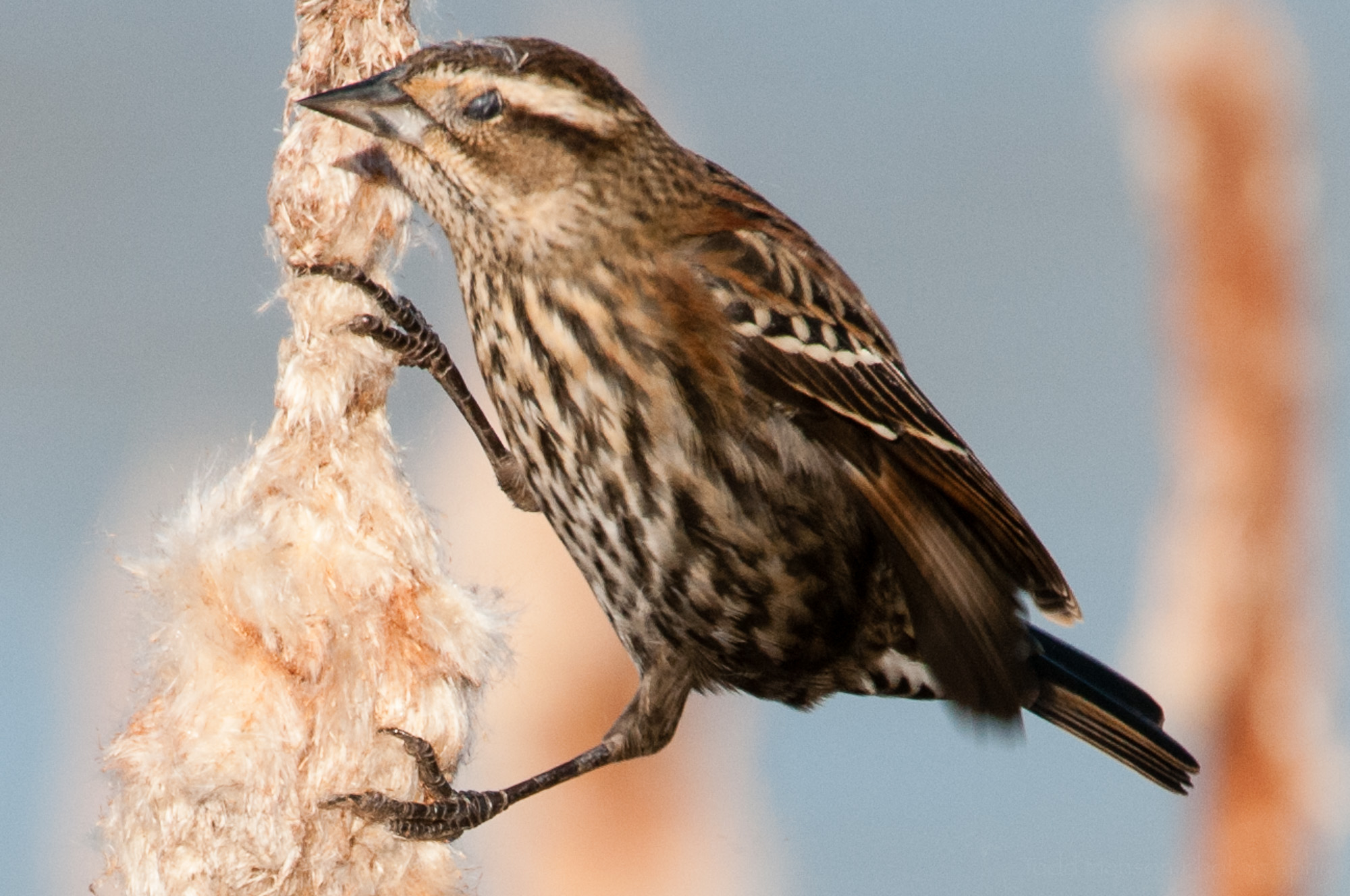 Example of nictitating membrane protecting female red-winged blackbird's eye from debris.