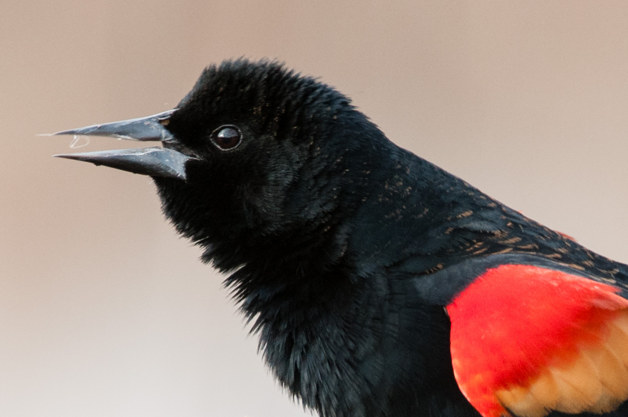 Male red-winged blackbird with eye open.
