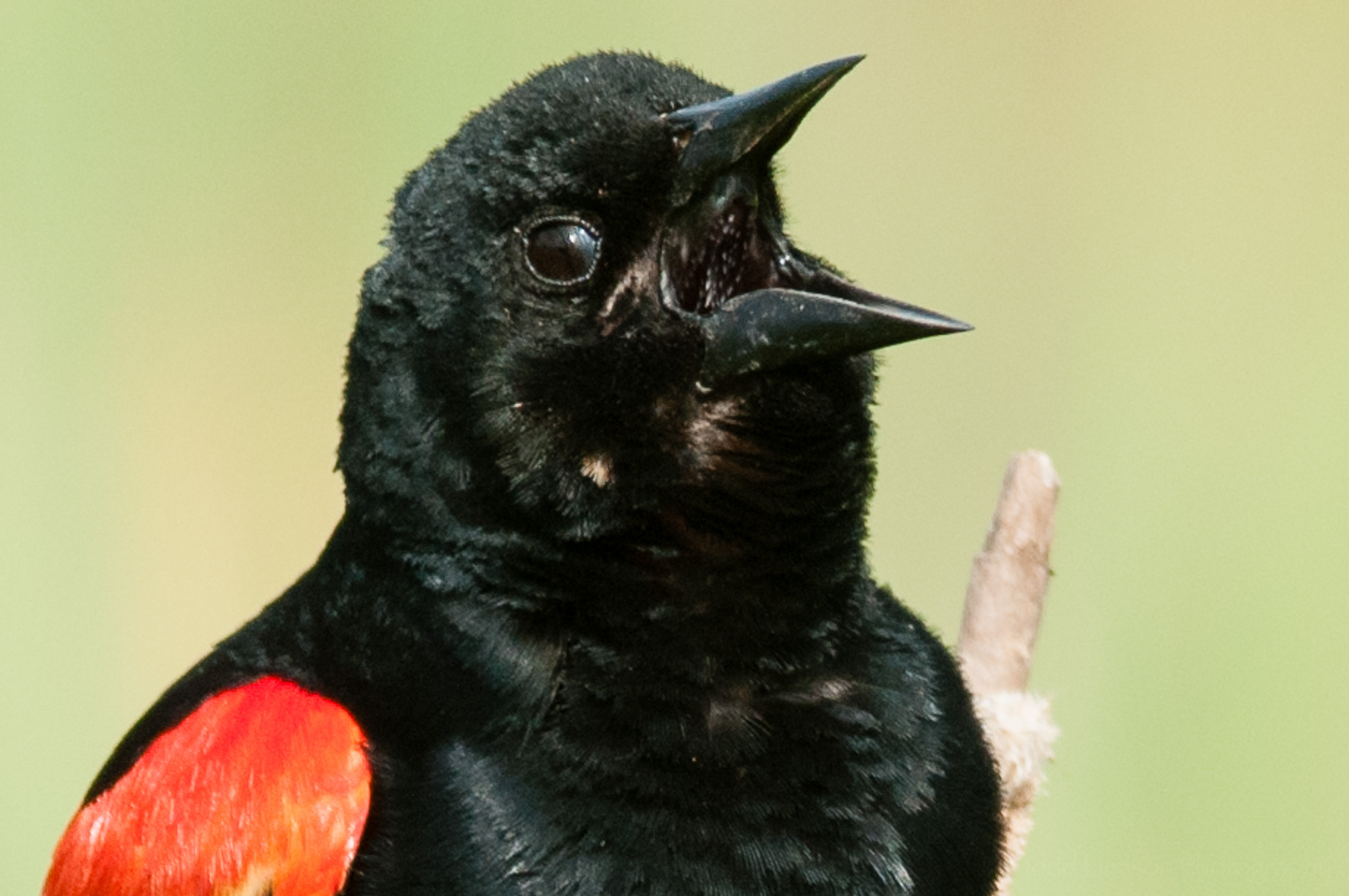 Nictitating membrane beginning to close on male red-winged blackbird.