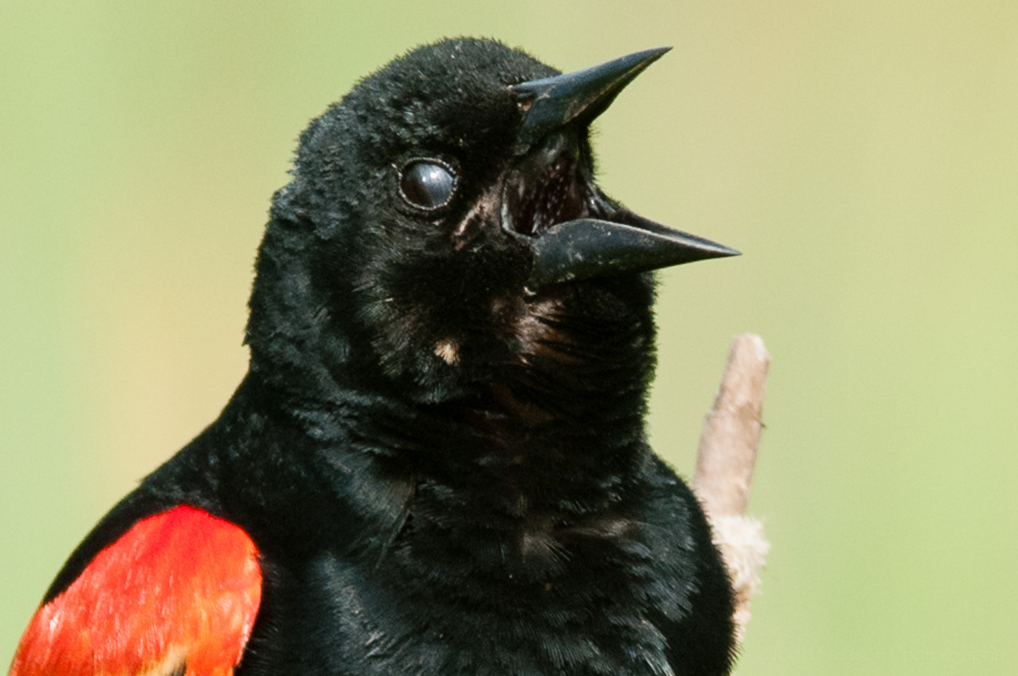 Nictitating membrane almost closed on male red-winged blackbird.