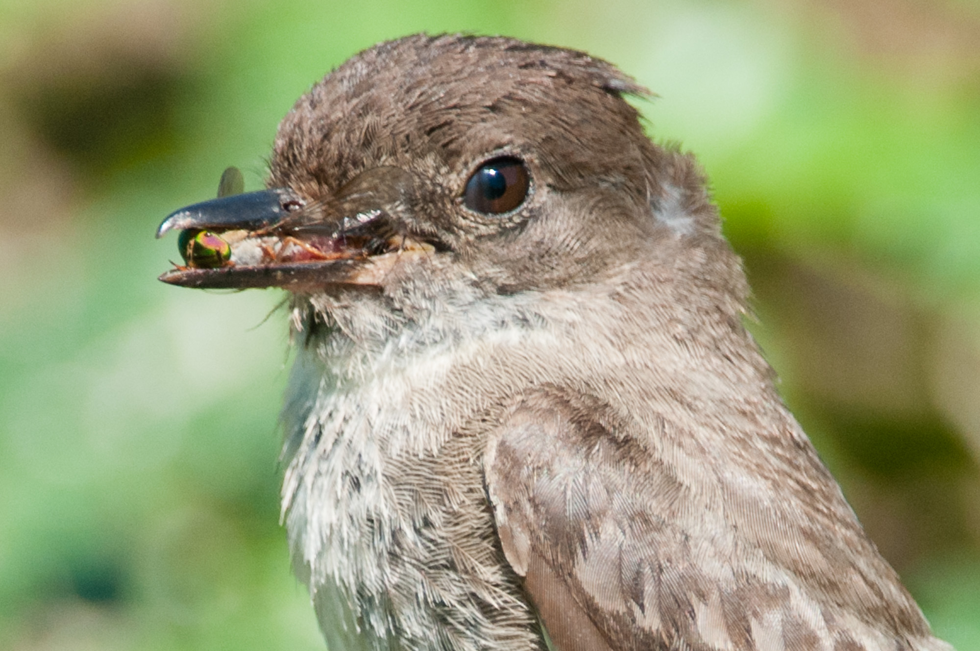 Small portion of third eyelid showing on Eastern Phoebe.