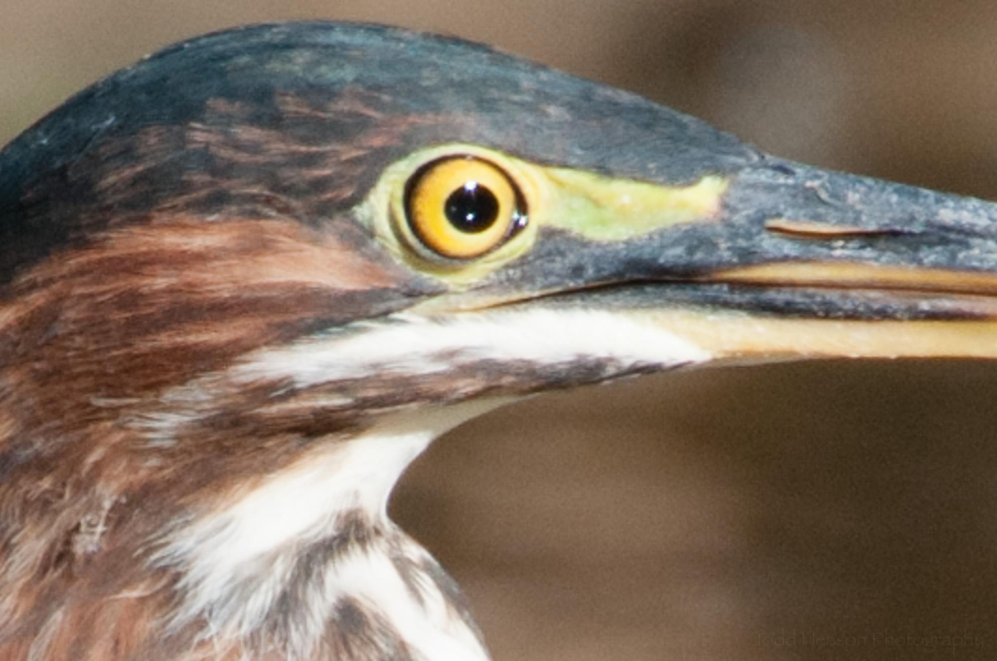 Closeup of open eye on Green Heron.