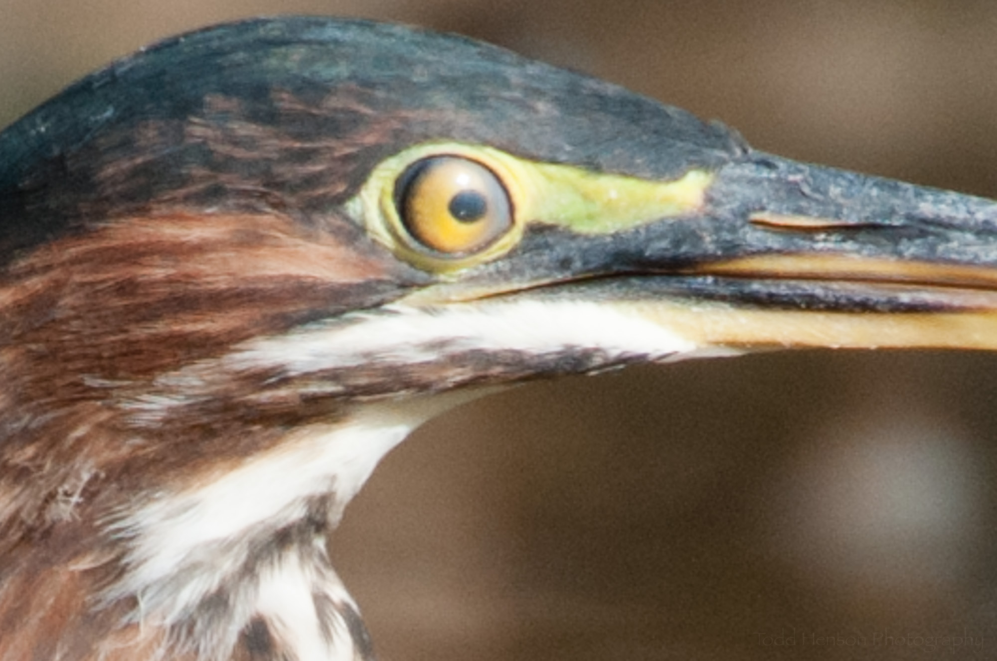 Closeup of nictitating membrane on Green Heron.