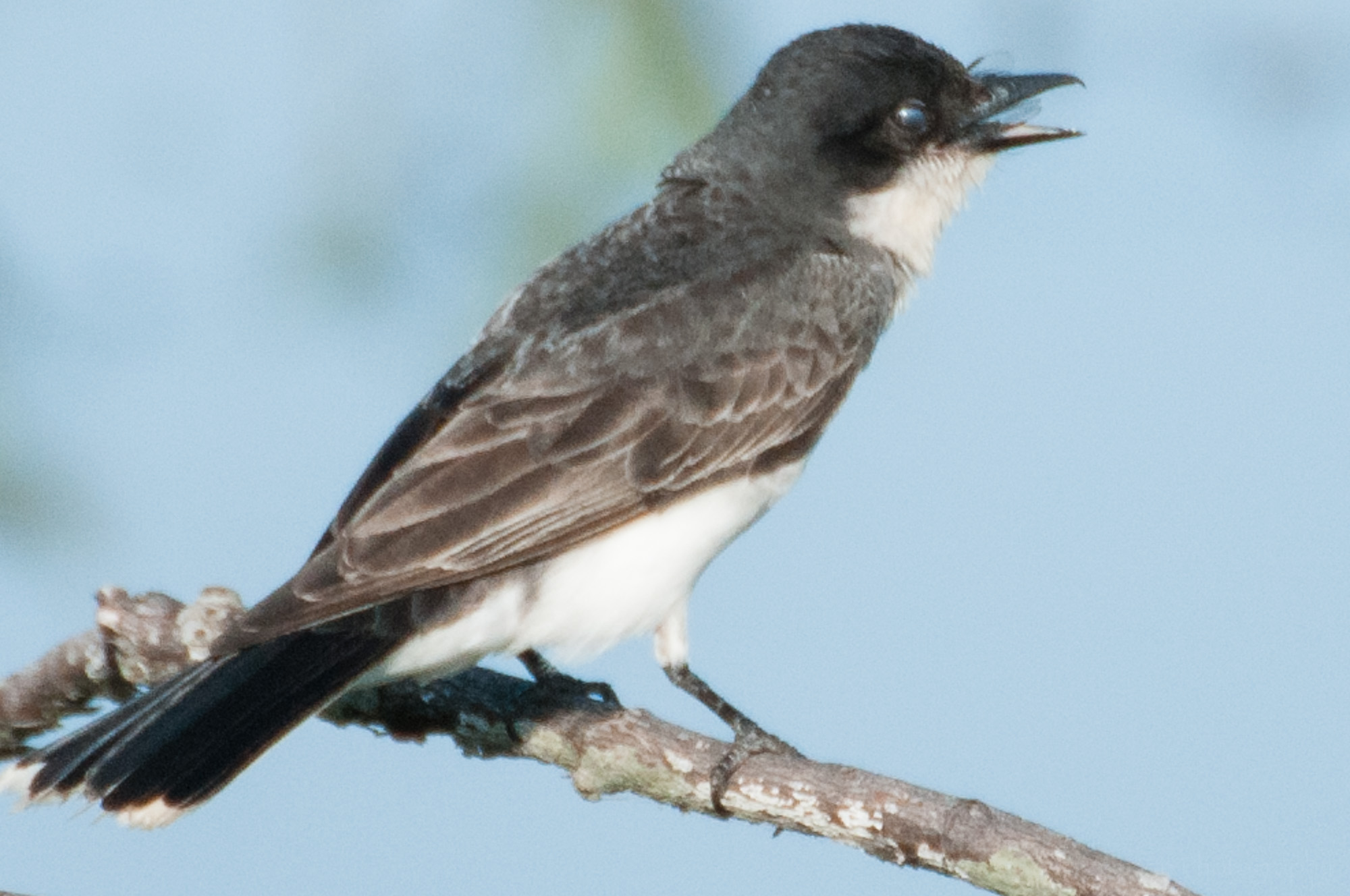 Eastern Phoebe with closed nictitating membrane over eye.