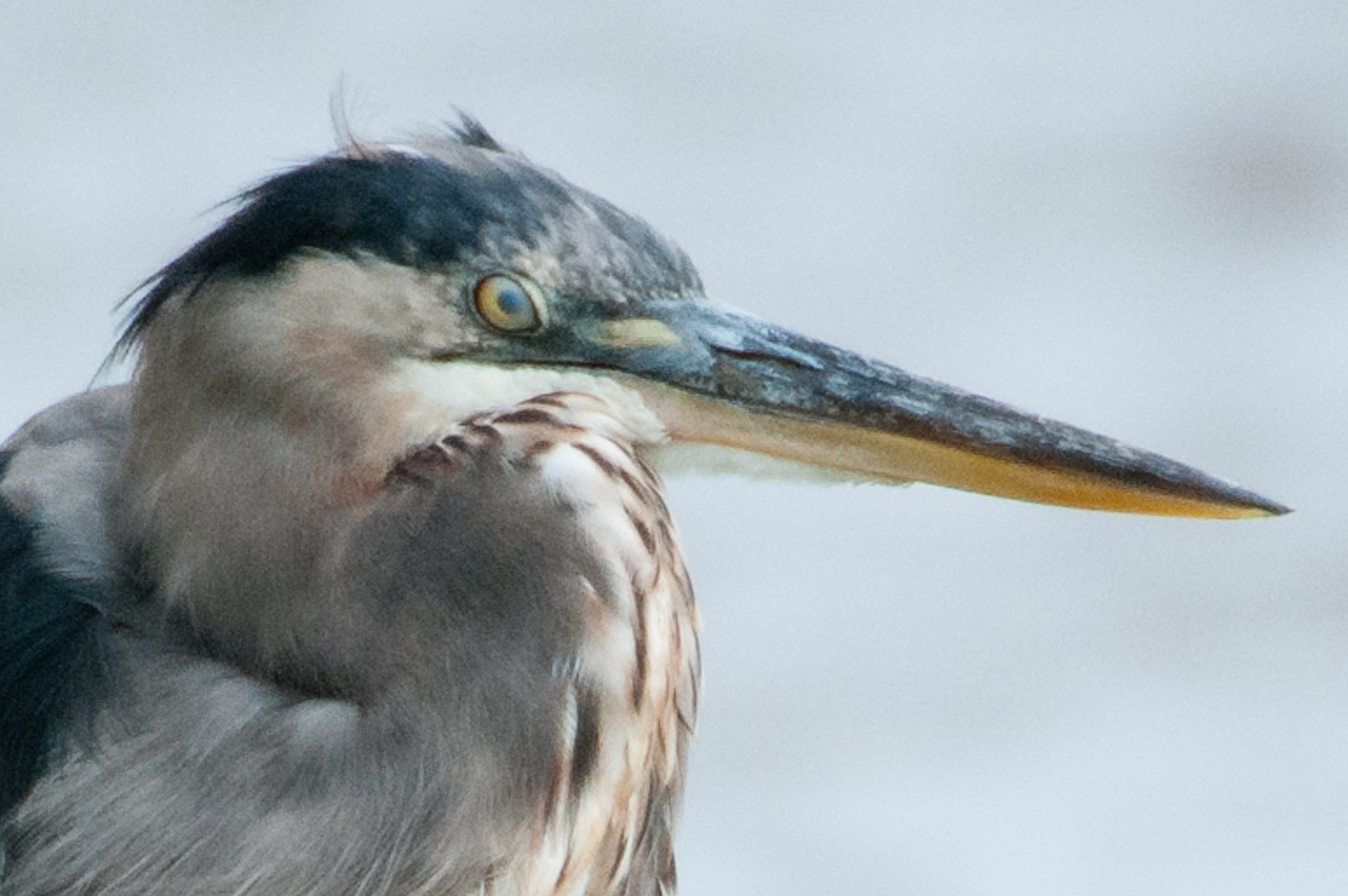 Great Blue Heron with eye clouded over by nictitating membrane.