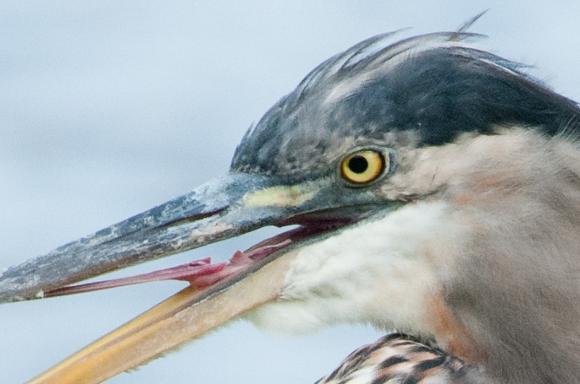 Great Blue Heron with eye (and beak) open.