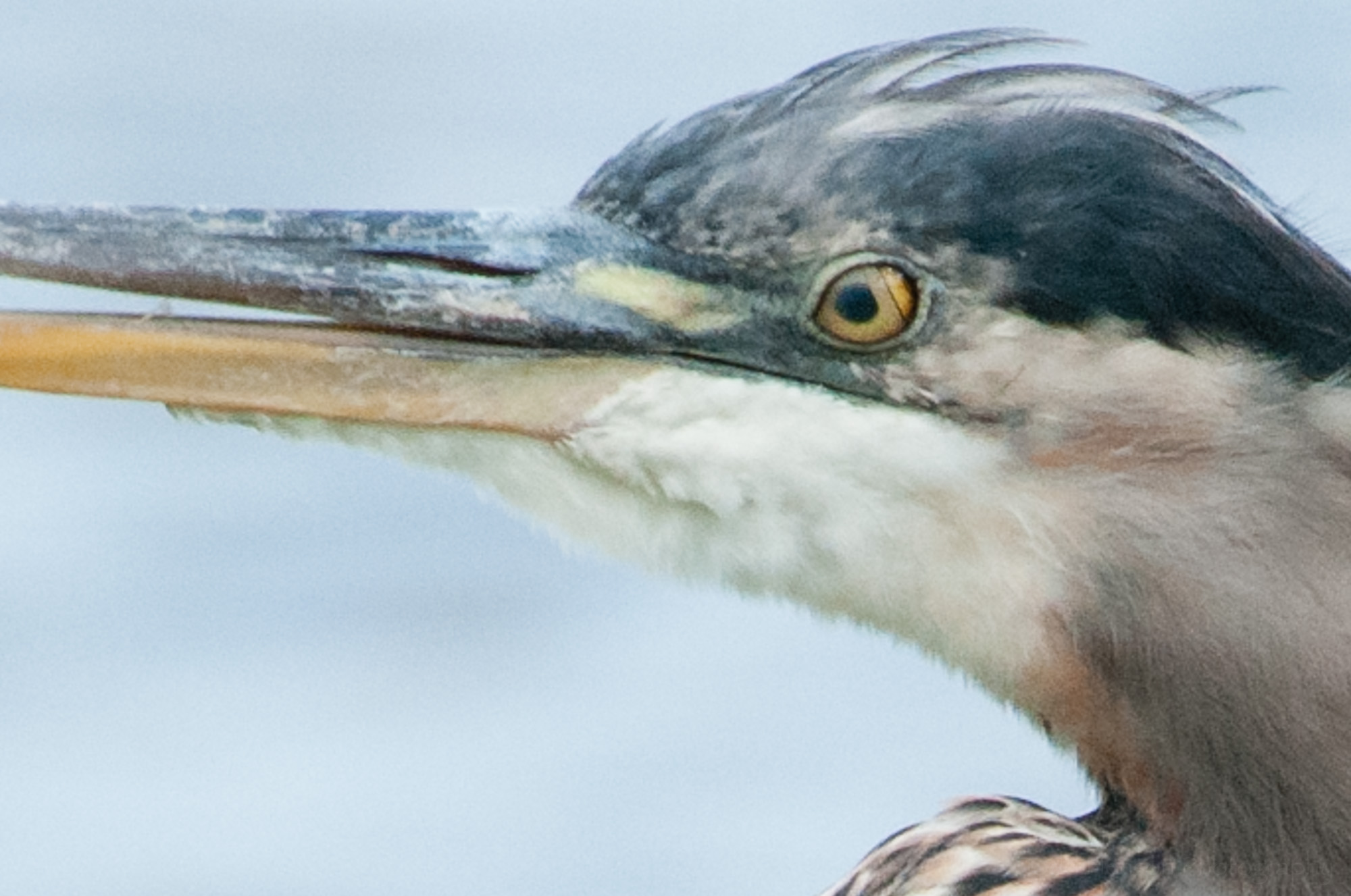 Great Blue Heron with nictitating membrane partially closed over eye.
