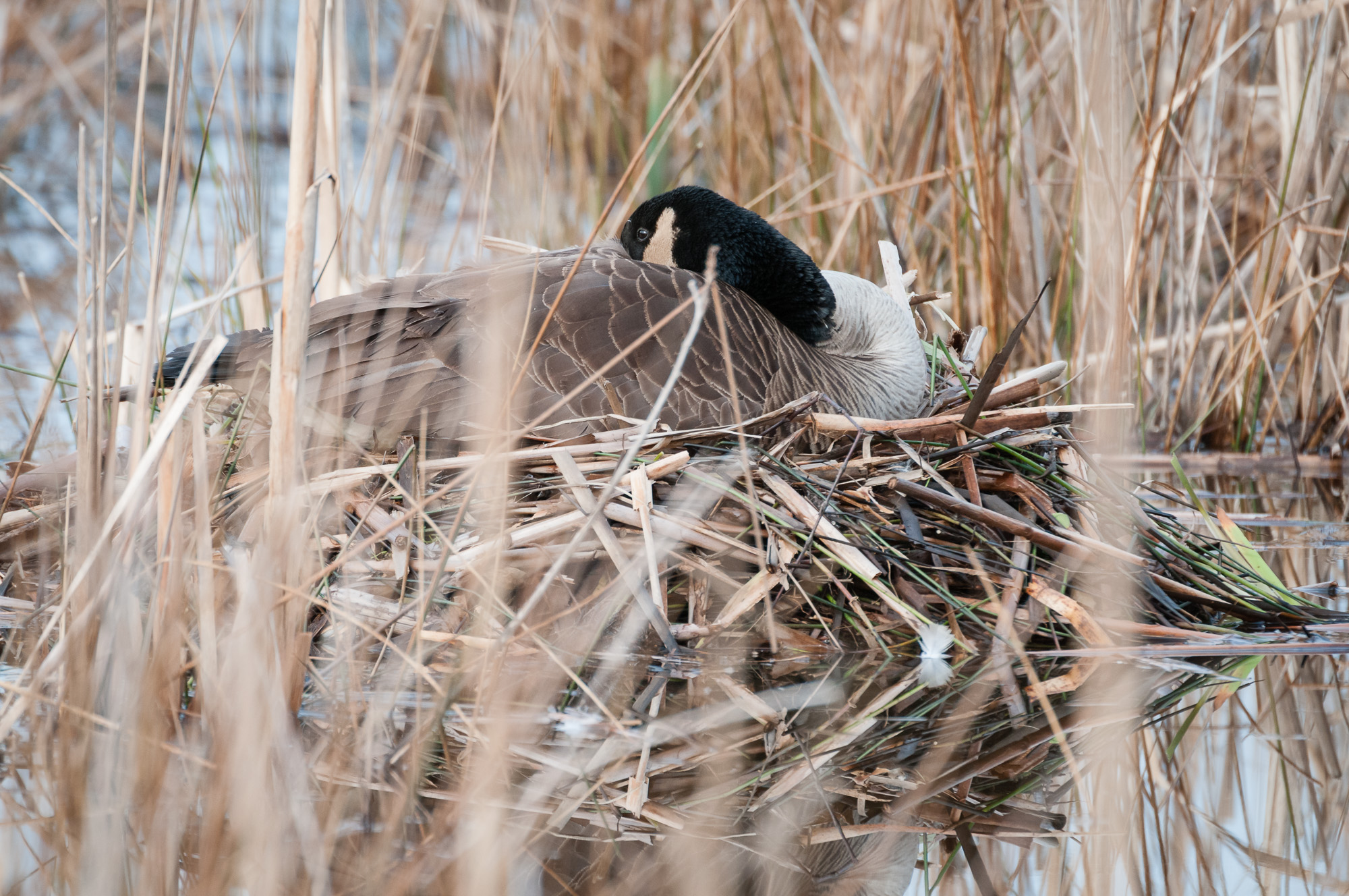 Mother Canada Goose resting on her nest