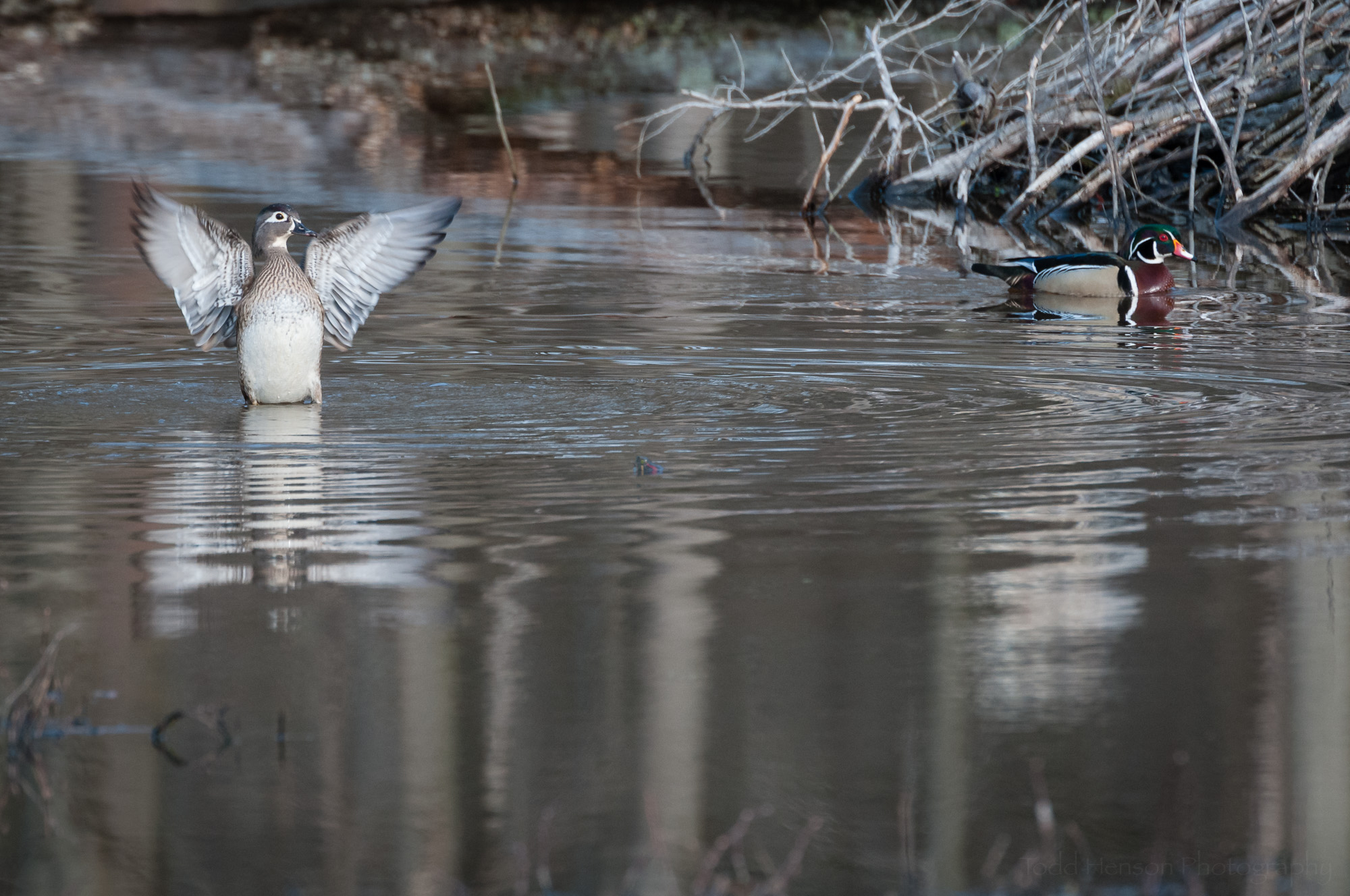 Female Wood Duck flapping wings as male swims in the background
