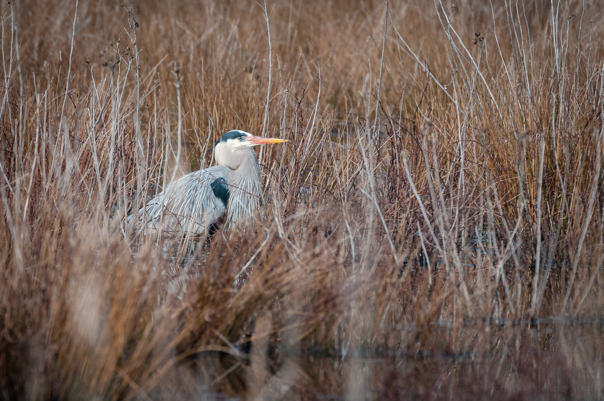 Great Blue Heron in breeding plumage moves through wetlands brush