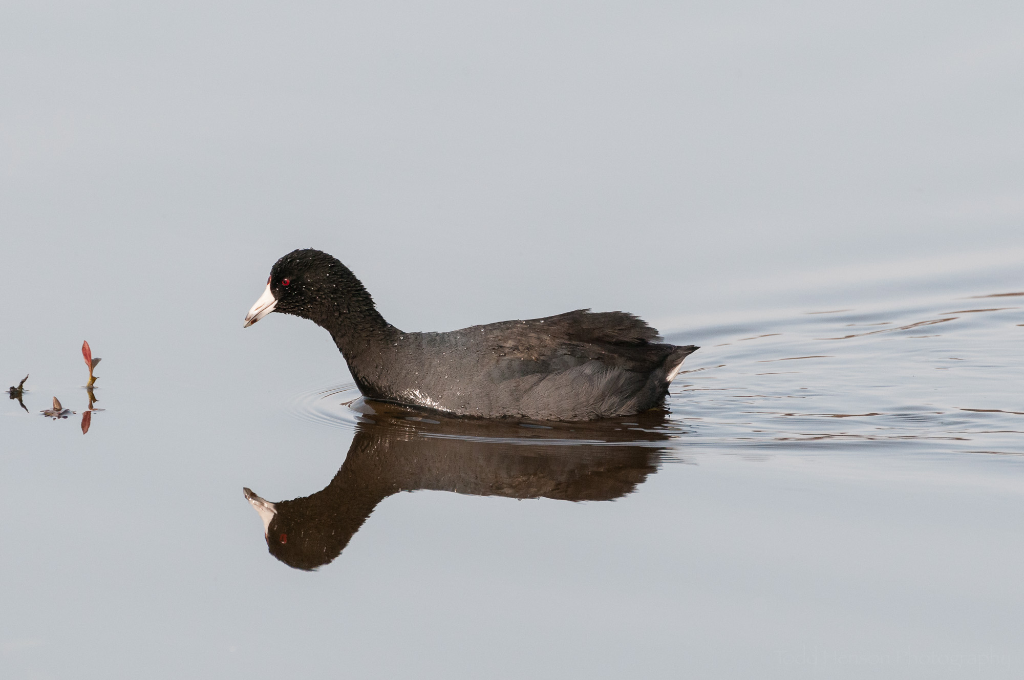 American Coot with reflection in still water