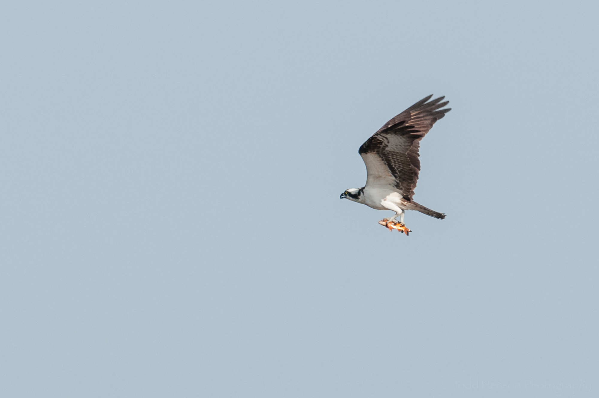 Osprey flying away with fish in talons