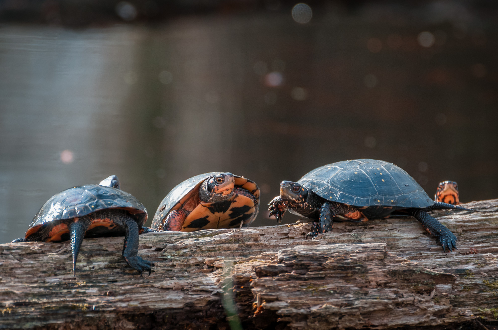Four Spotted Turtles on a log in wetlands