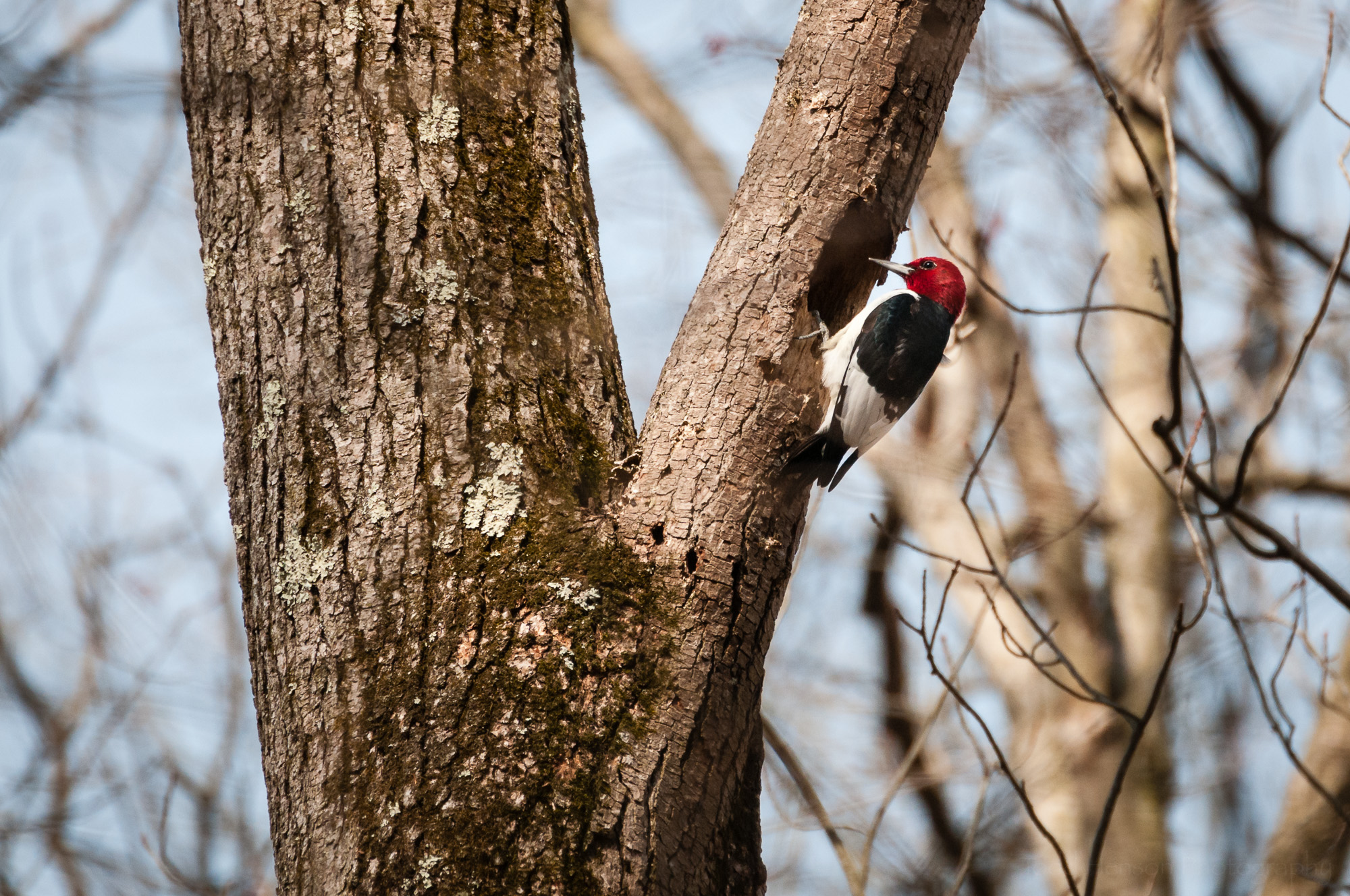 Red-headed Woodpecker perched in front of hole in tree