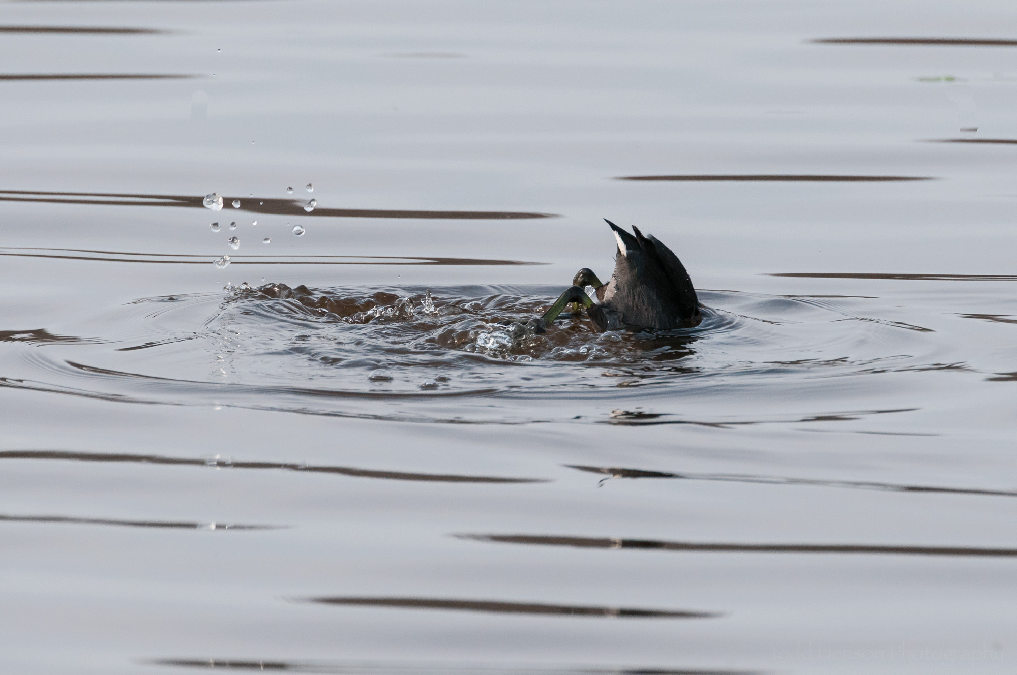 American Coot just diving beneath the surface