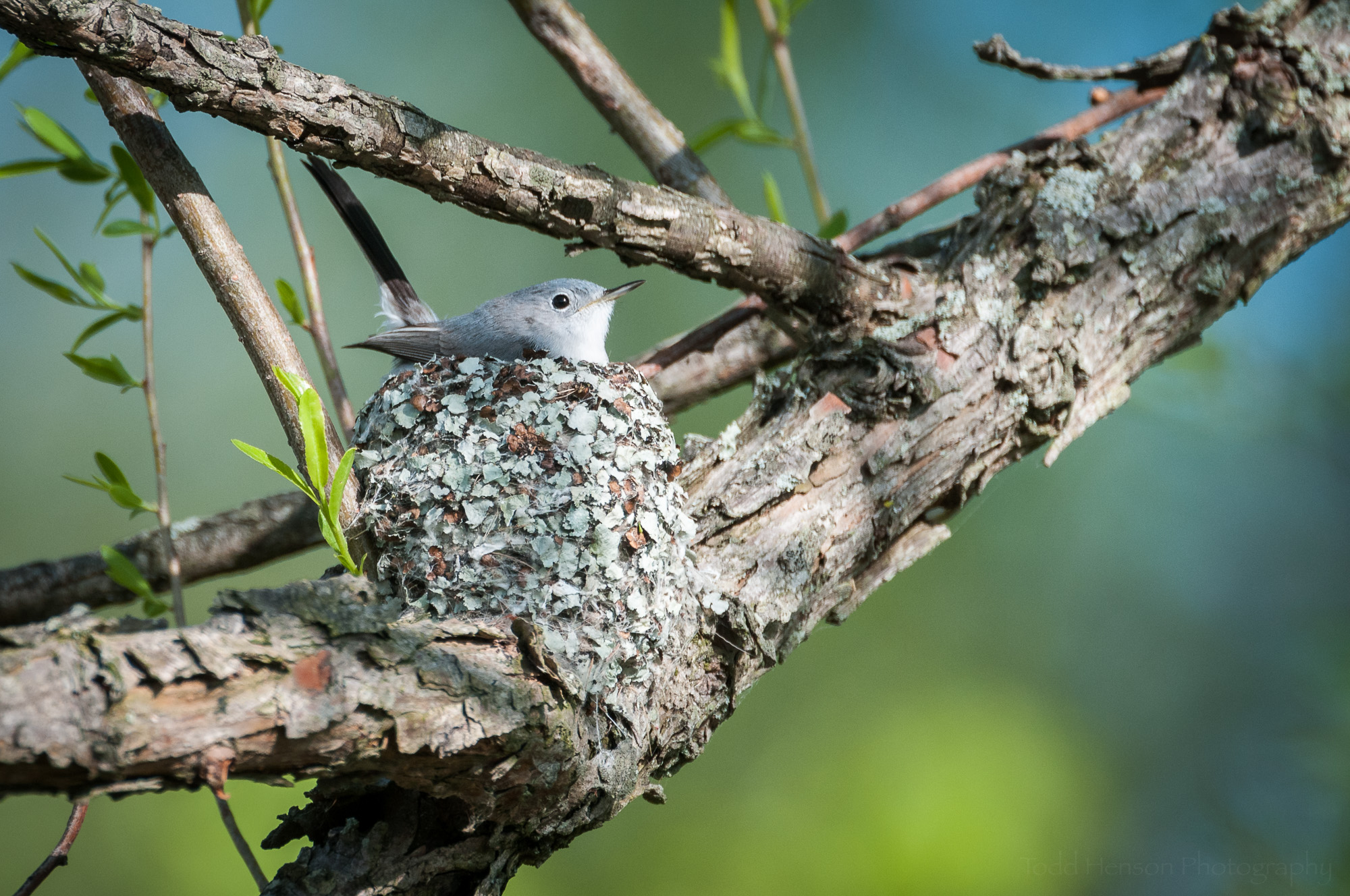 Female Blue-Gray Gnatcatcher sitting in her nest, beautifully lit by early morning sunlight
