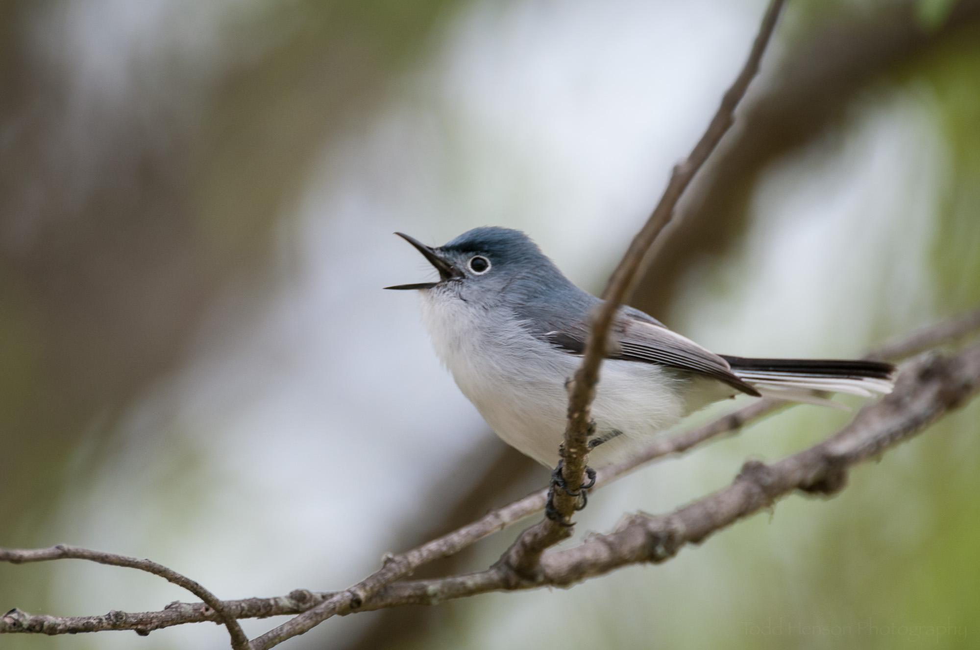 Male Blue-Gray Gnatcatcher singing