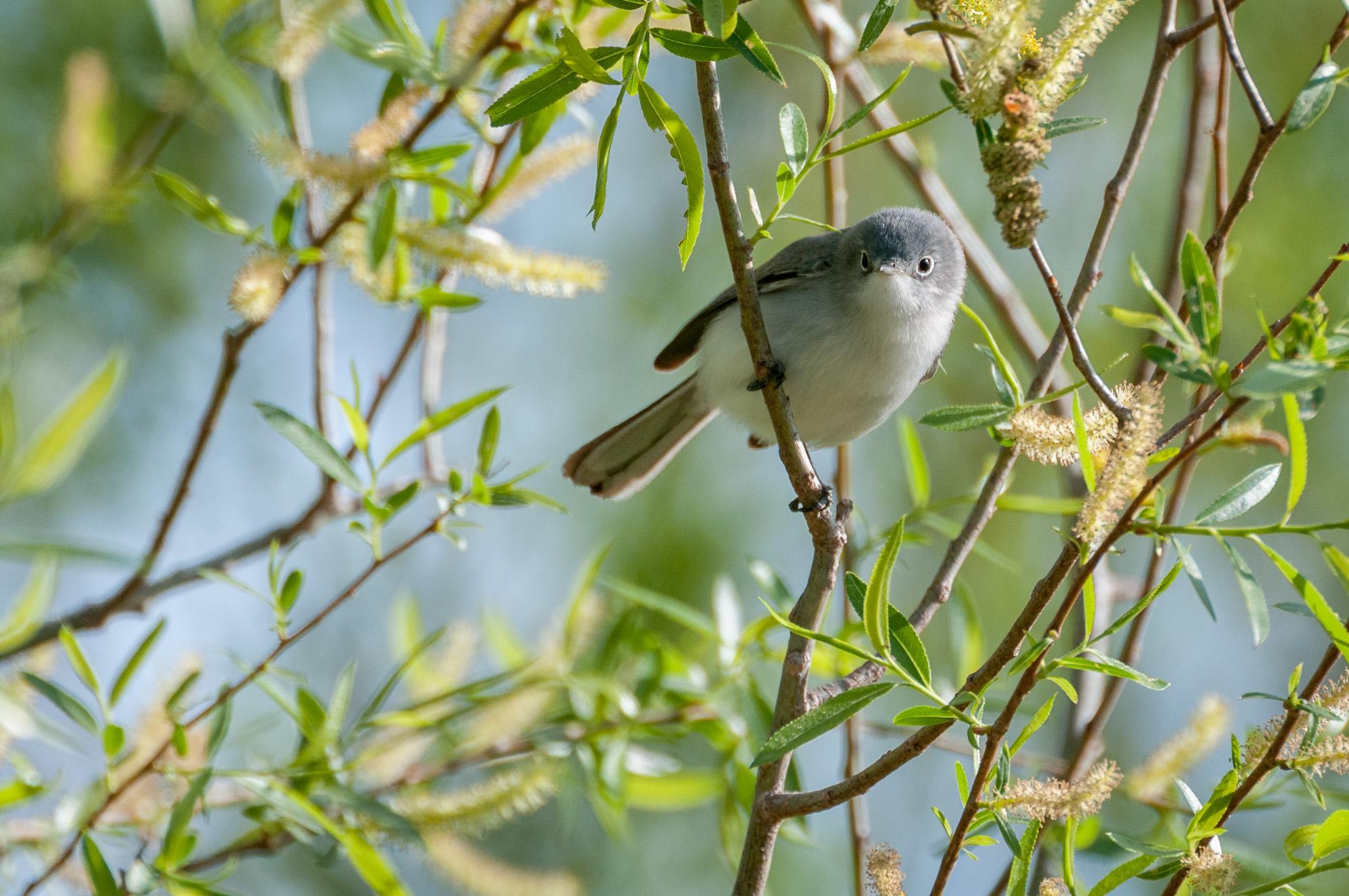 Female Blue-Gray Gnatcatcher sitting on a branch