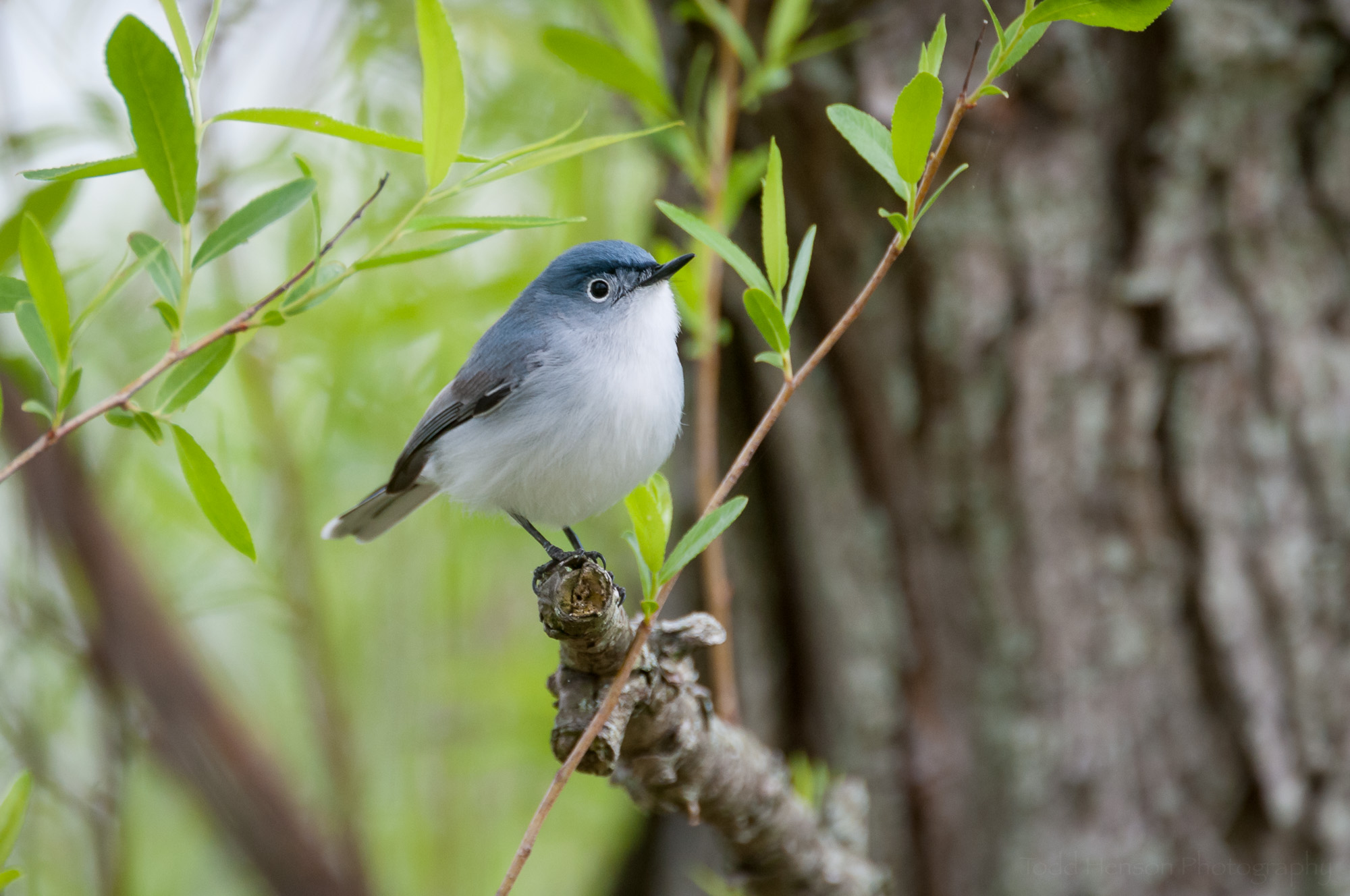 Male Blue-Gray Gnatcatcher sitting on a branch