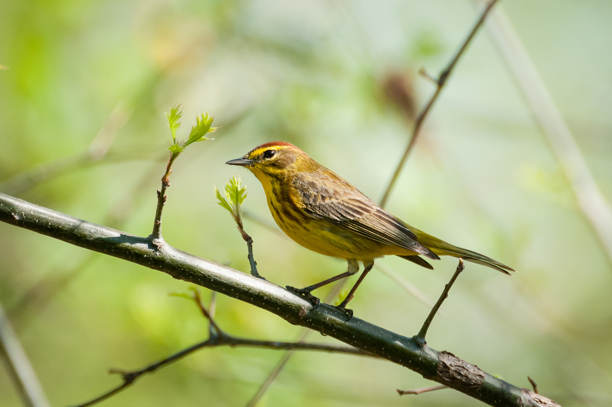 A side view of a Palm Warbler