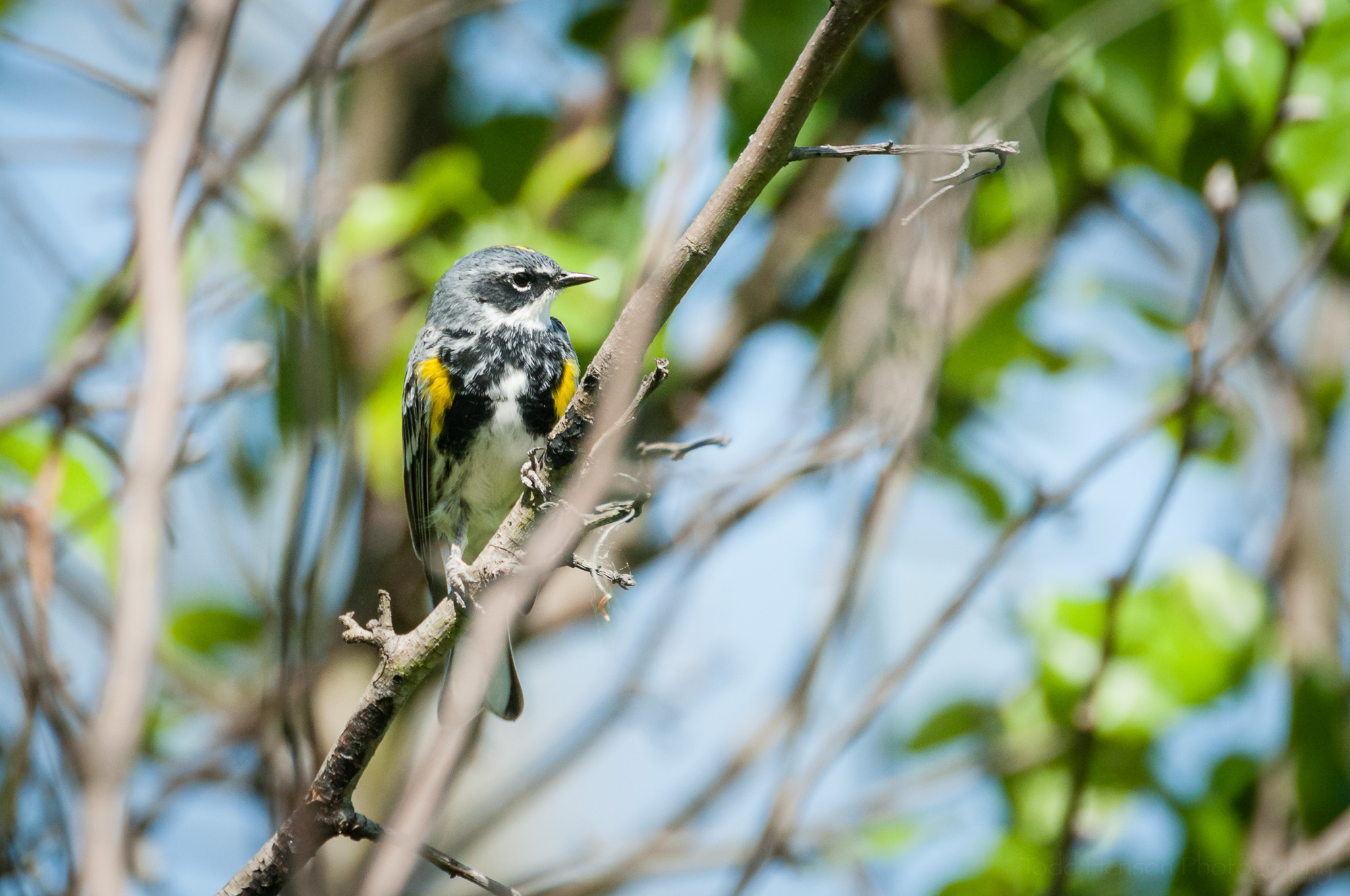Yellow-rumped Warbler of the Myrtle variety. Notice the white throat. You can also see the 2 yellow patches on either side of its breast.