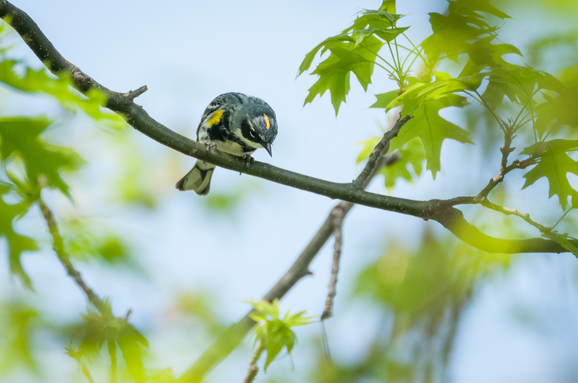 Yellow-rumped Warbler looking down, showing off the yellow stripe on top of its head.