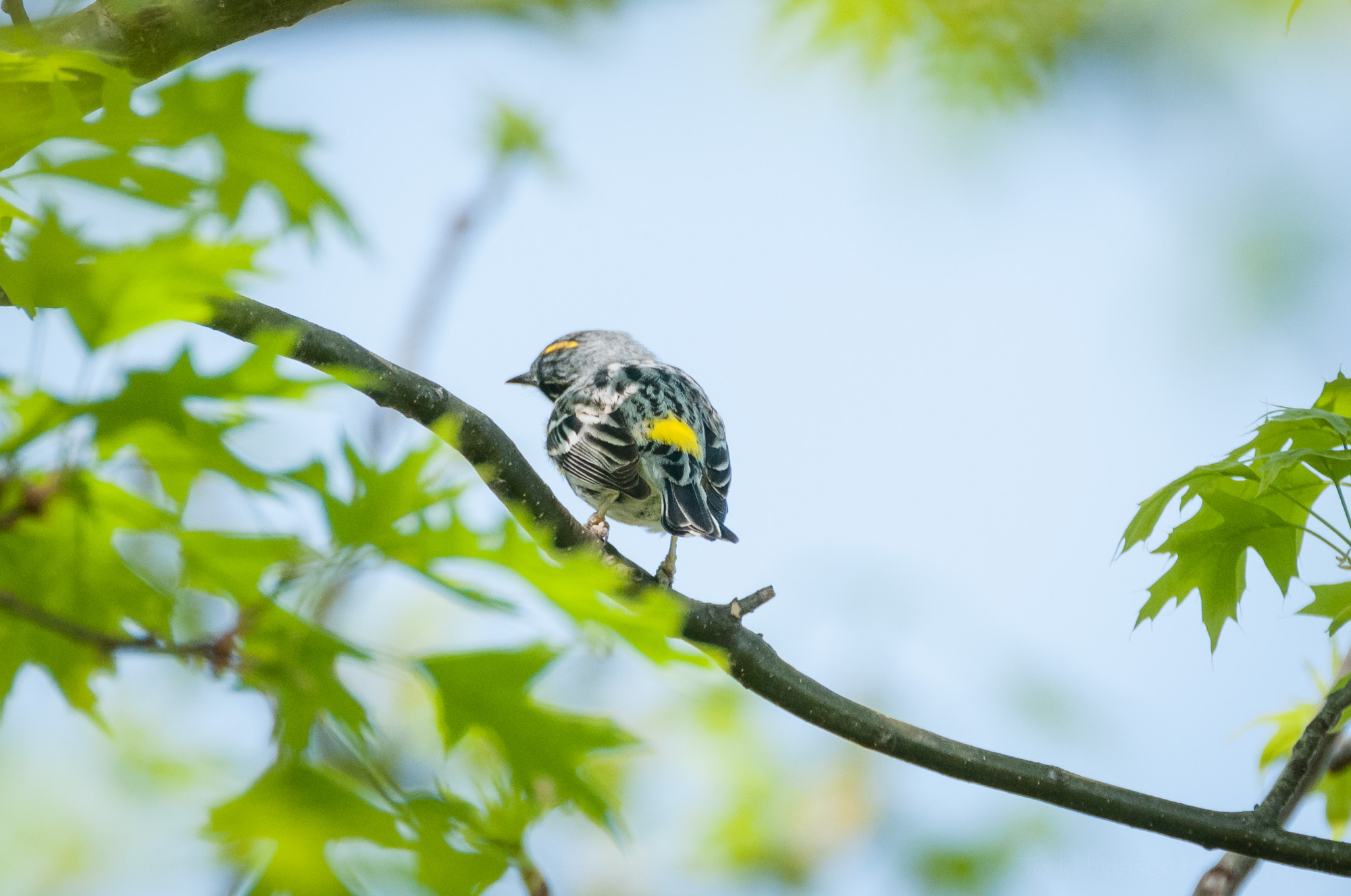 Backside of a Yellow-rumped Warbler, showing its namesake yellow rump. Also notice it is tilting its head to the left showing off the yellow stripe on top.