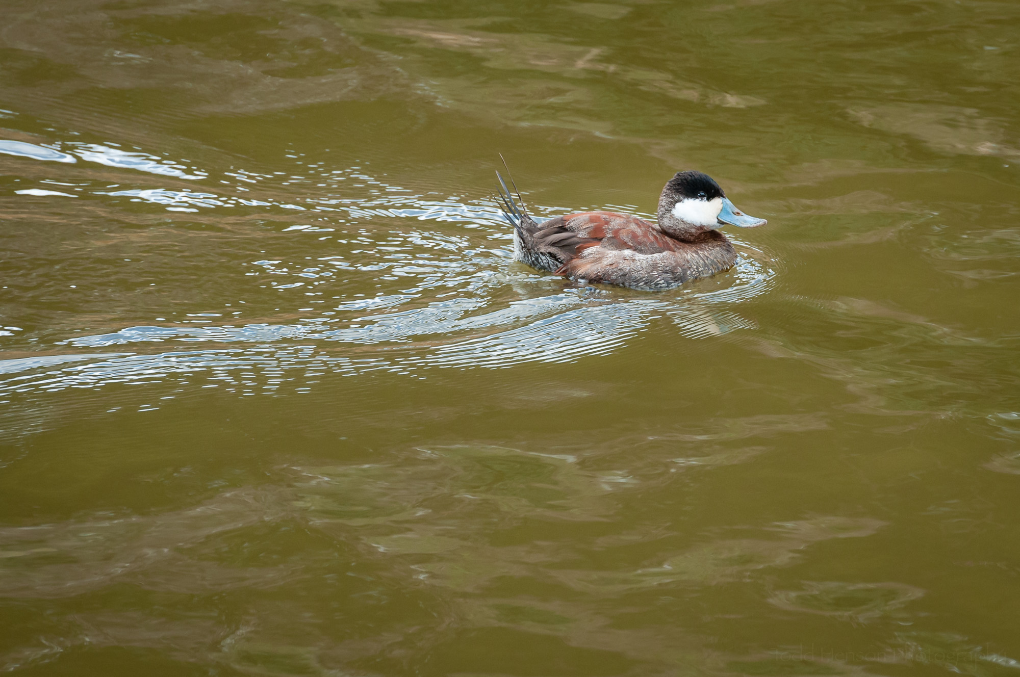 Male Ruddy Duck swimming in an inlet off Popes Creek.