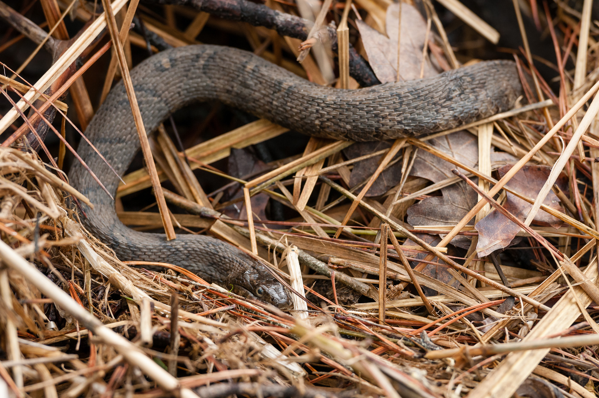 Northern Watersnake in the brush between the trail an Popes creek.