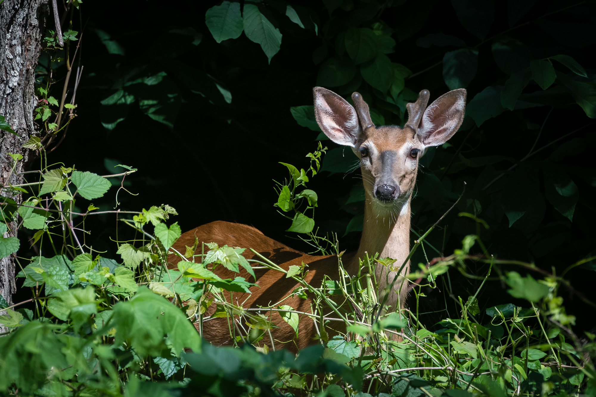 White-tailed deer watching and listening from the edge of the woods