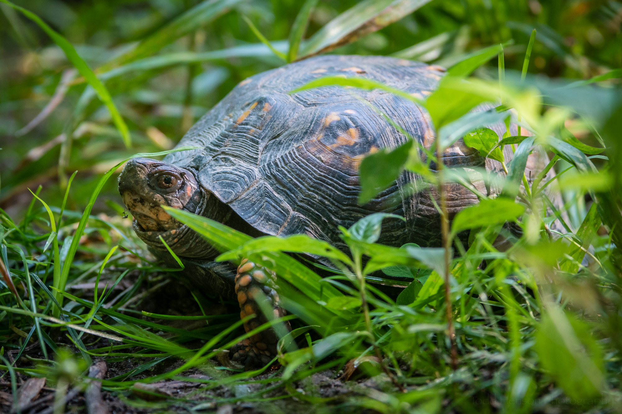 Eastern Box Turtle in the grass.