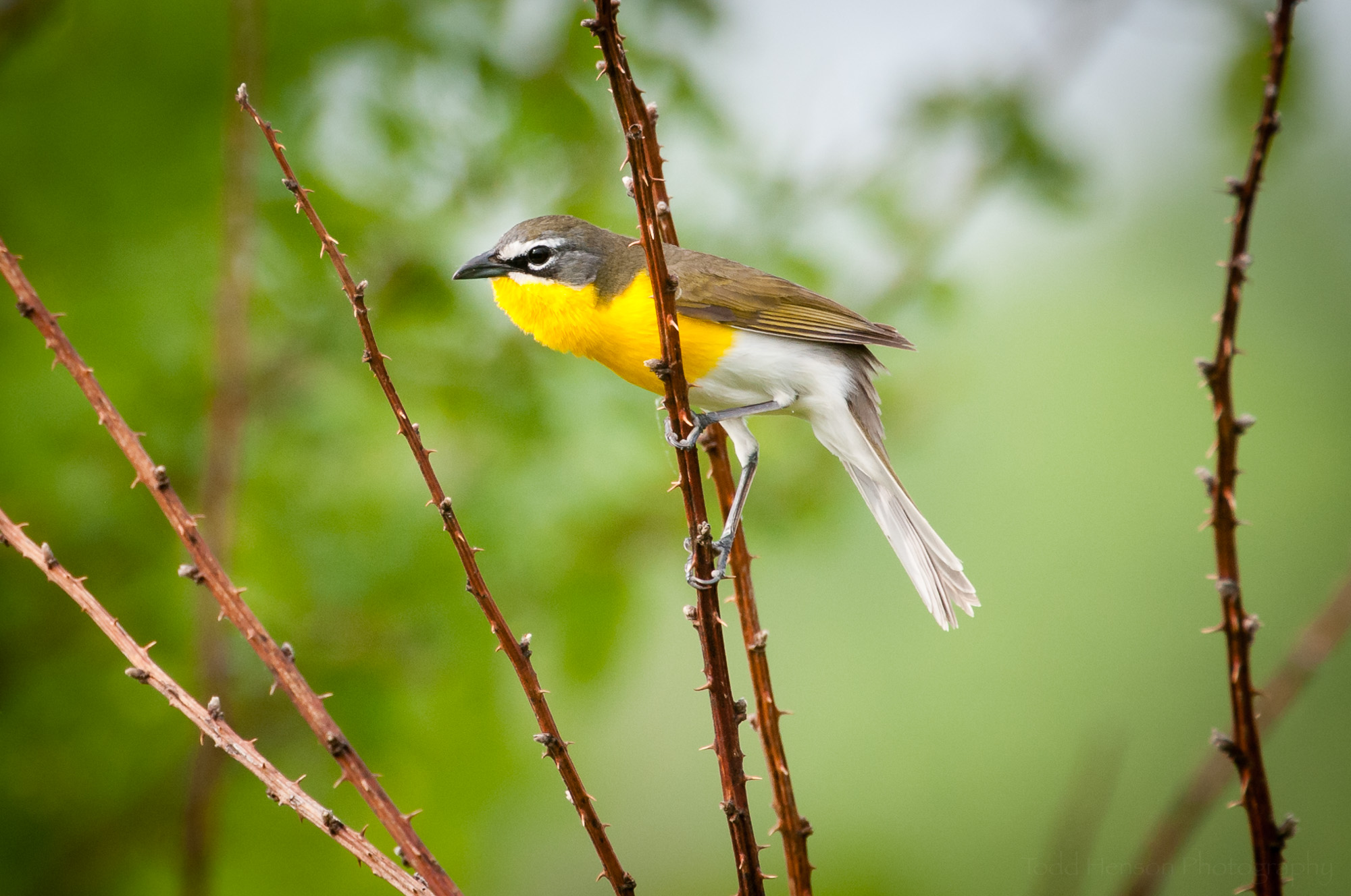 Yellow-breasted Chat perched on a thorny branch.